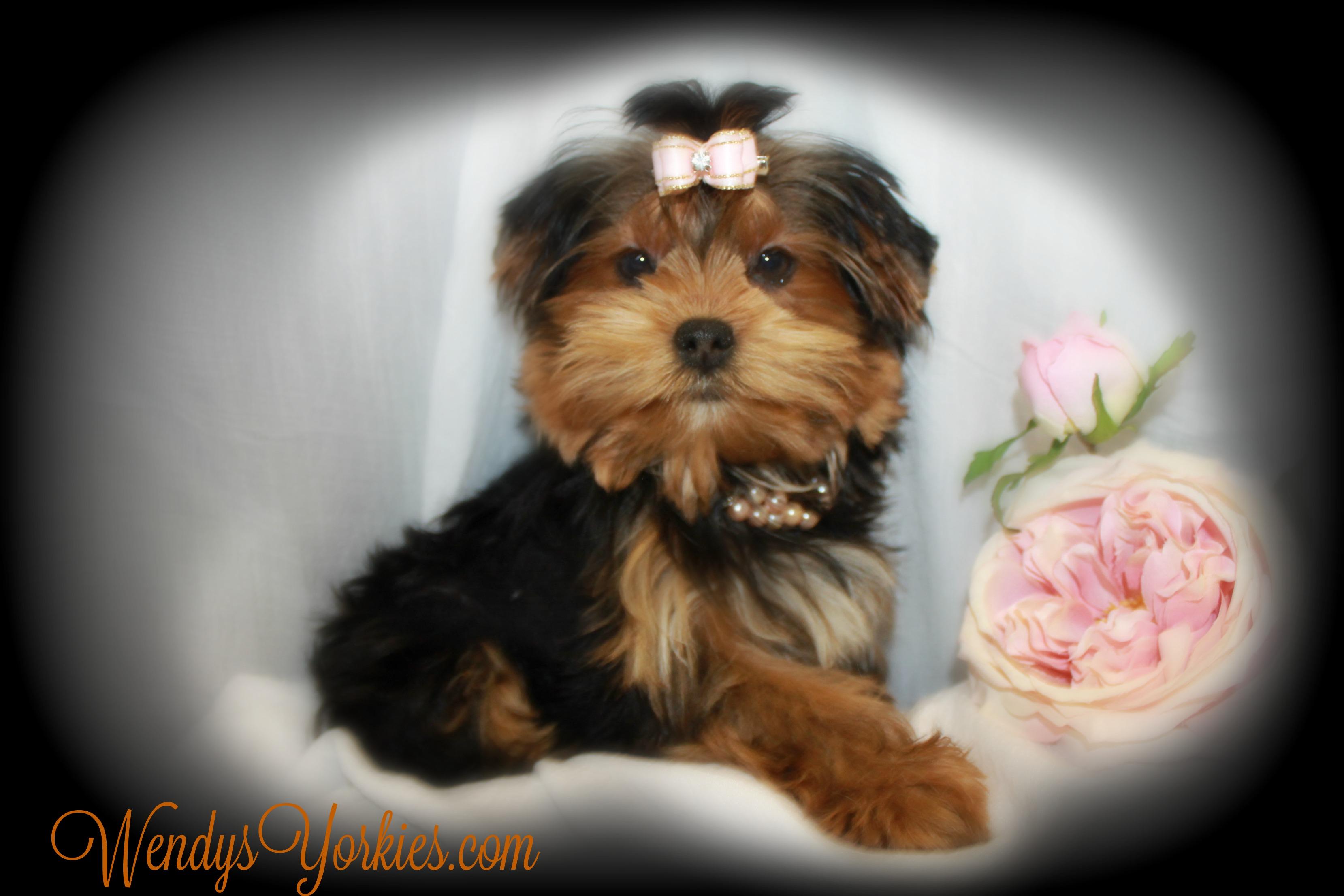 Teacup Female Yorkie puppies for sale, WendysYorkies.com, PhoebeDixie