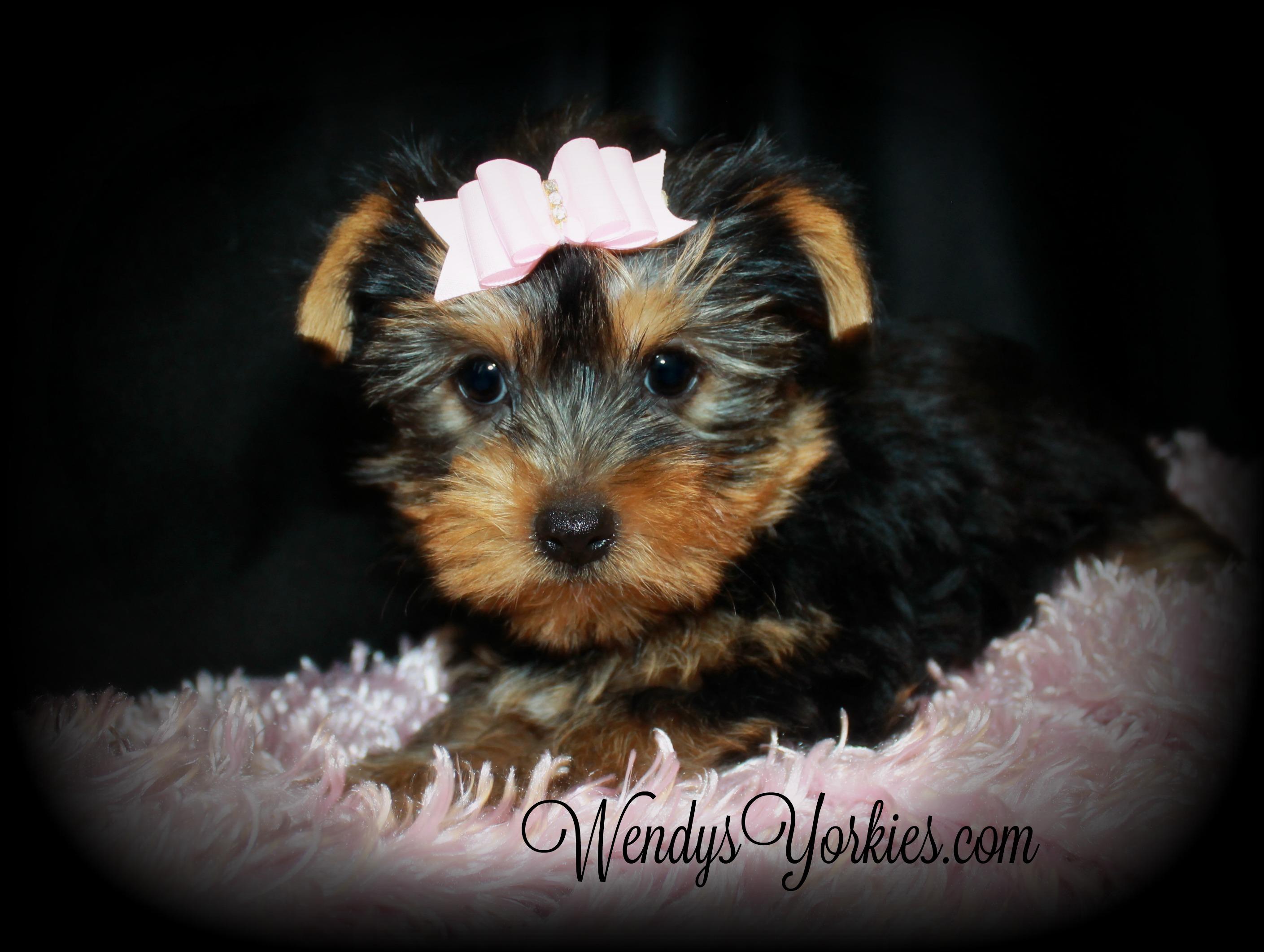 Teacup Yorkie puppy for sale in TExas, WendysYorkies.com, Chloe f1