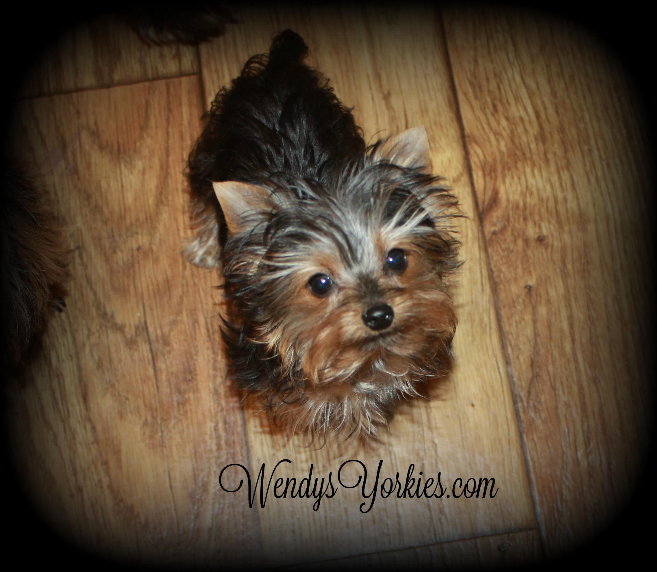 Tiny Yorkies puppies for sale, WendysYorkies.com, Tiny