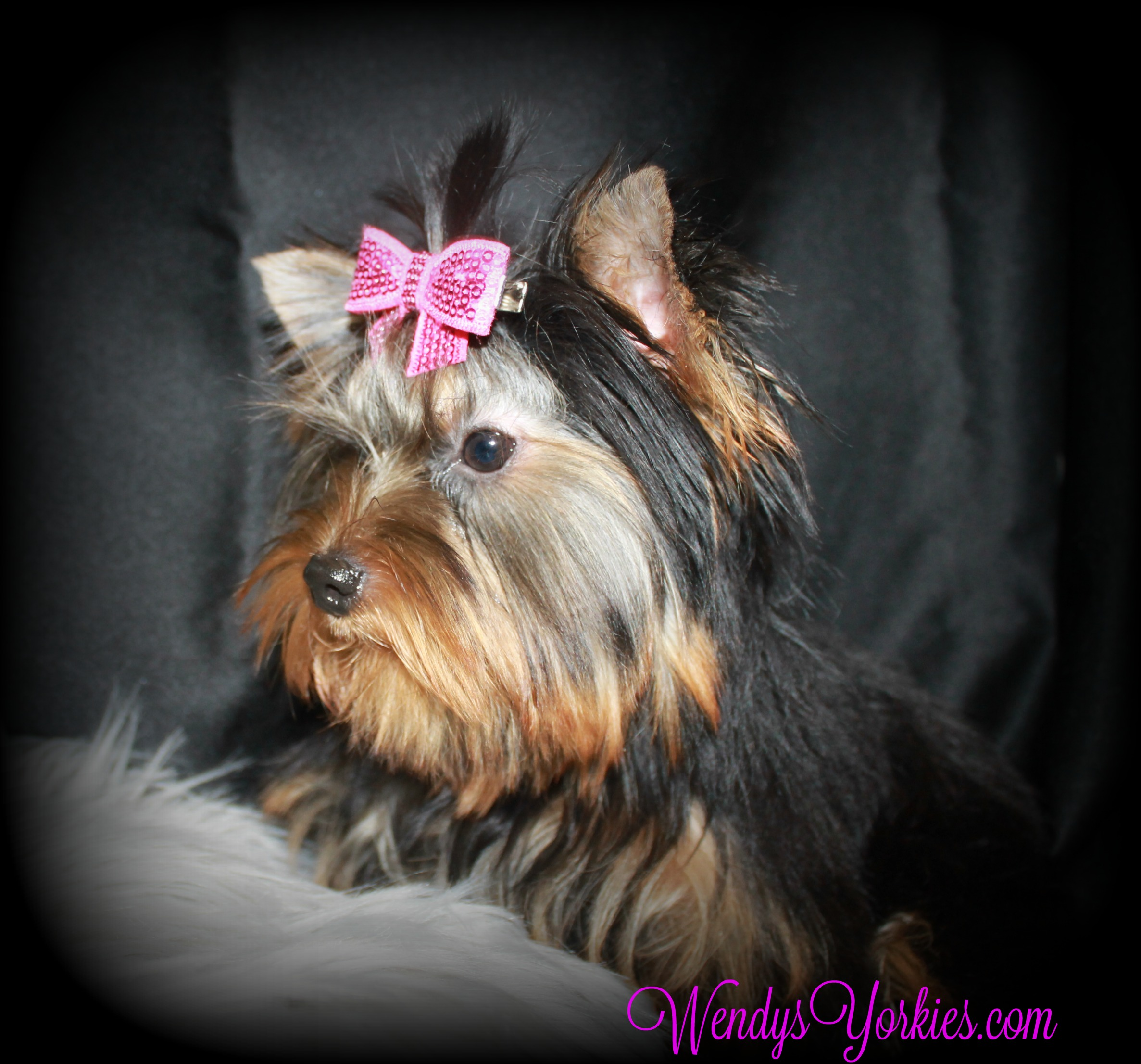 Toy Yorkies for sale, Abby 2.0
