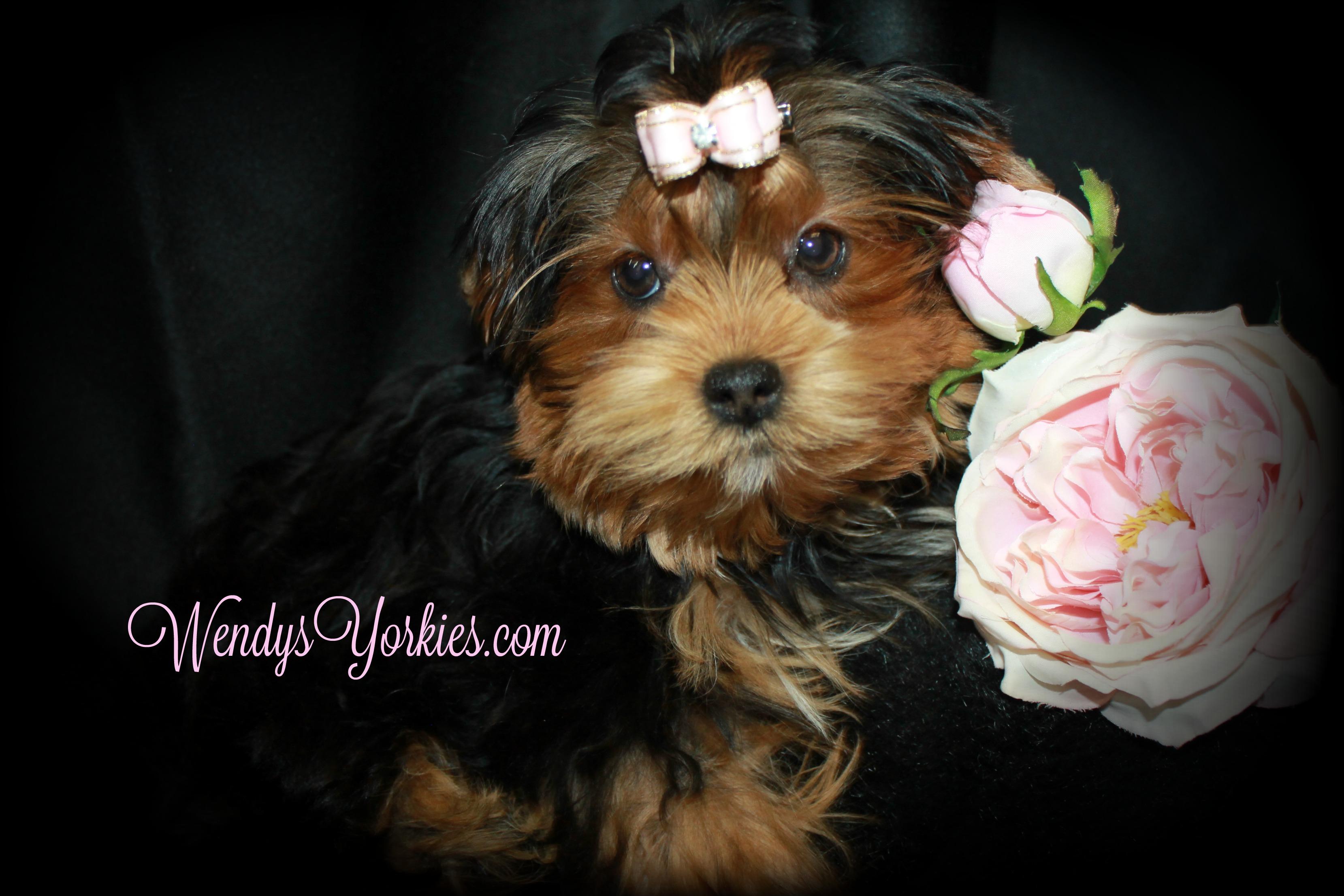 WendysYorkies, Yorkie puppies for sale, PhoebeDixie