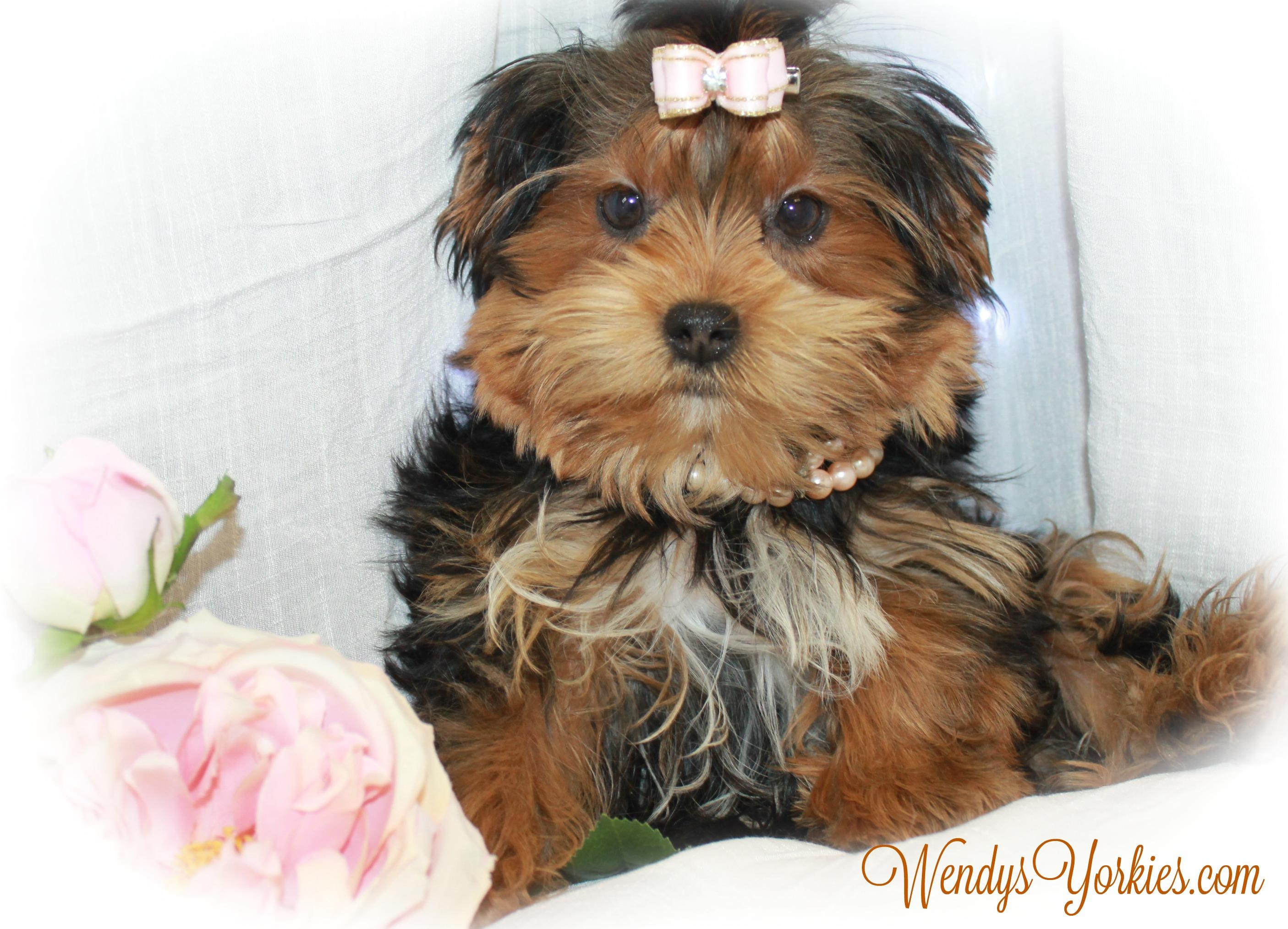 Yorkie puppy breeder in Texas, WendysYorkies, PhoebeDixie