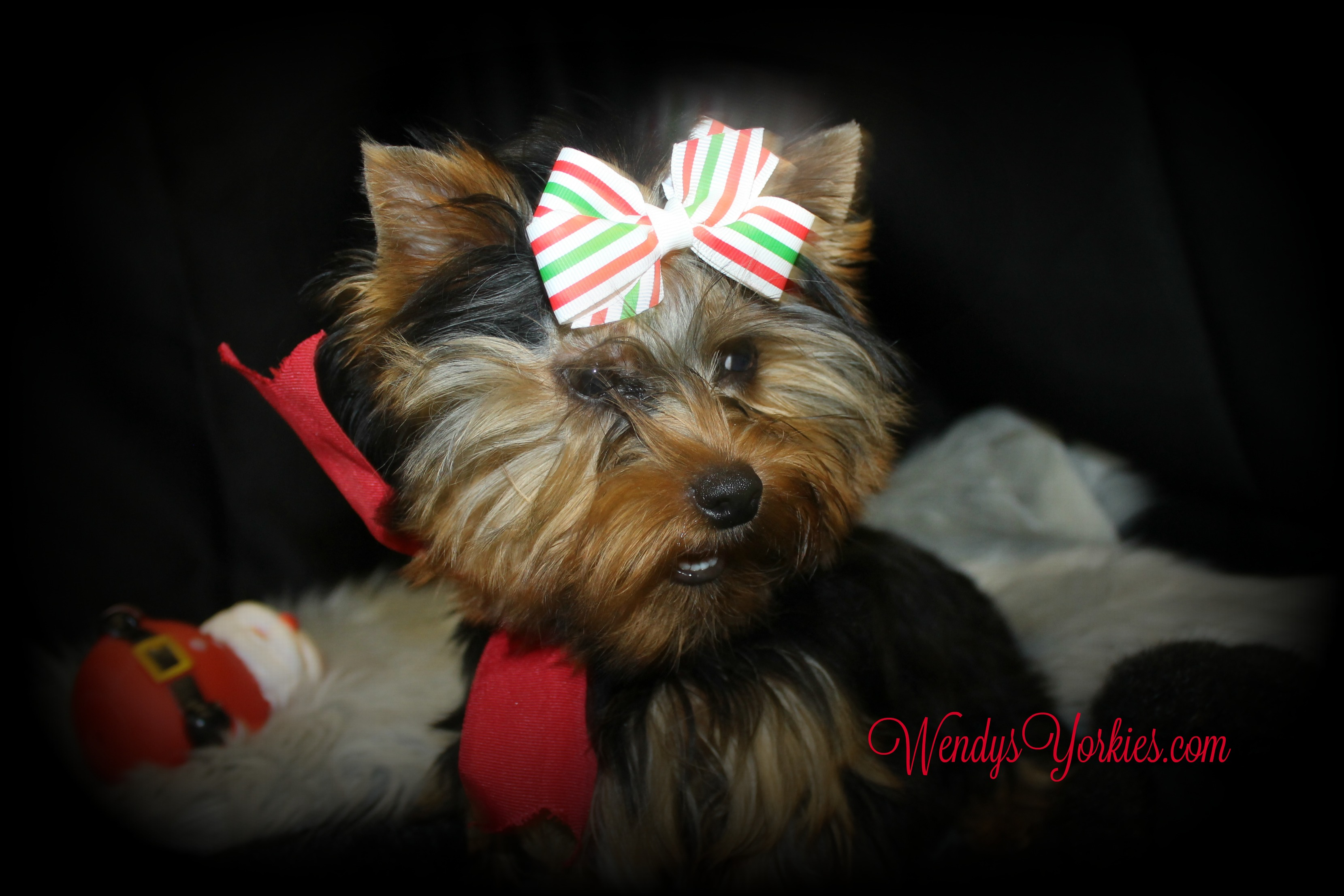 Yorkie puppy for sale , Zues