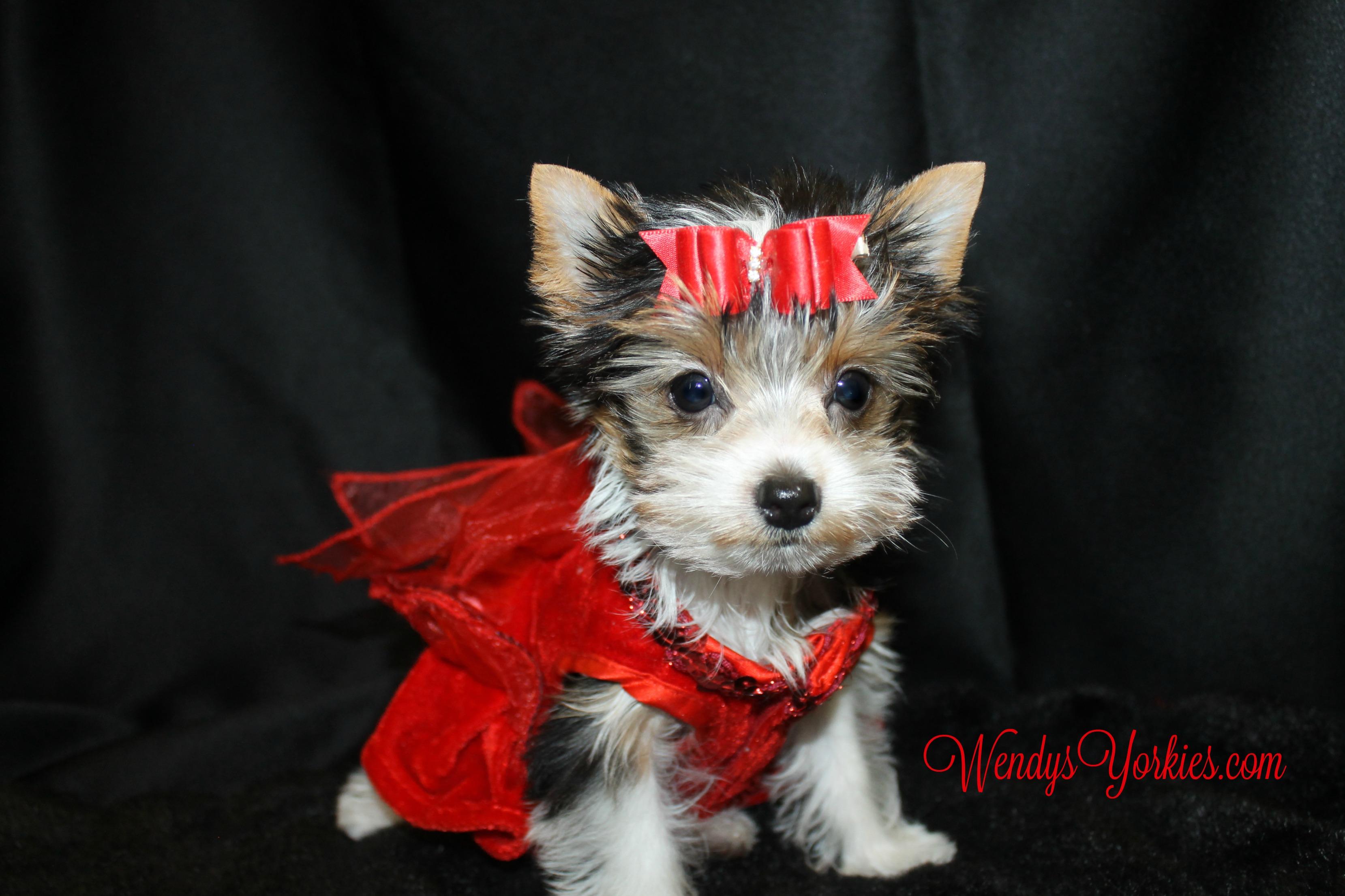 Yorkies puppies for sale, Parti Yorkie for sale, WendysYorkies, Ella