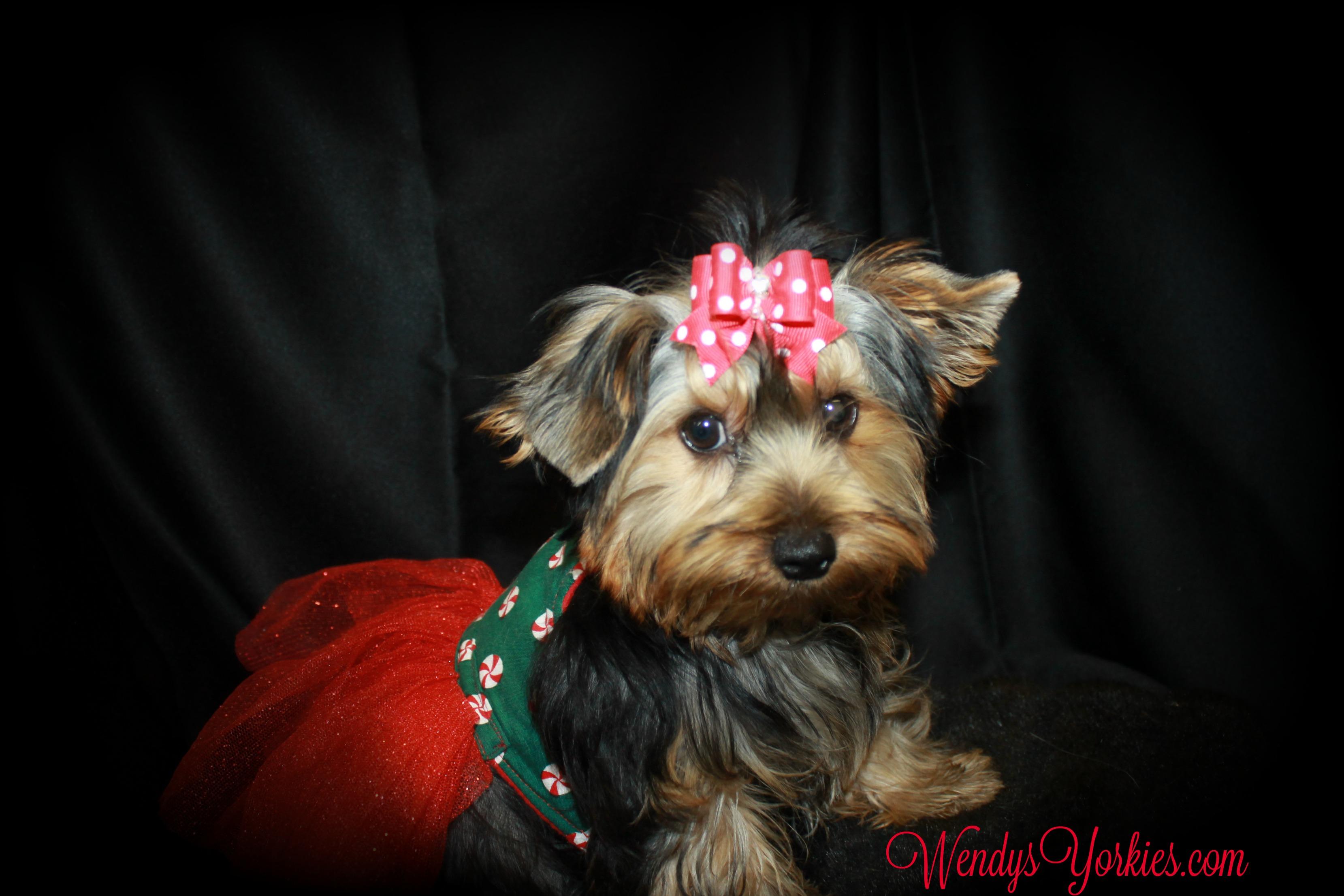 Yorkies puppies for sale, WendysYorkies, Stars Chloe
