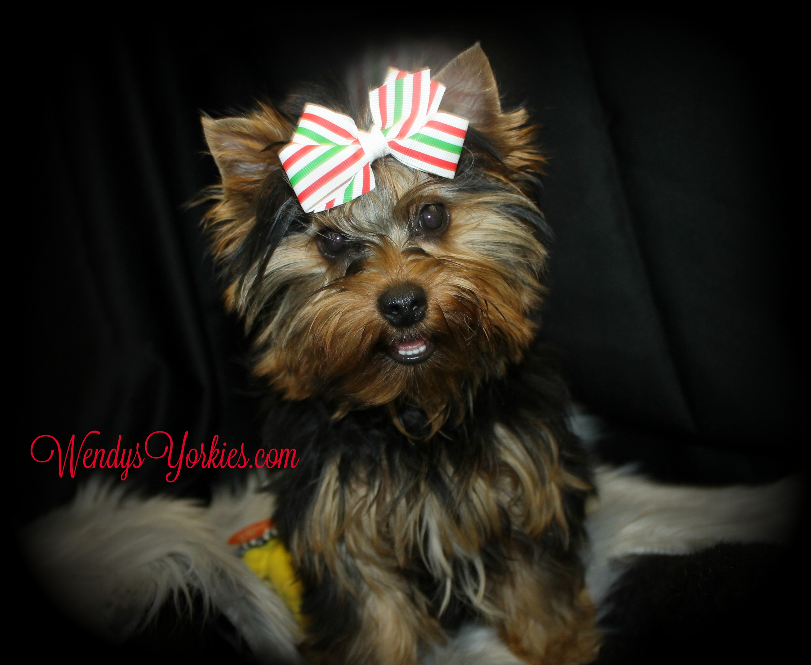 Yorkies puppies for sale, WendysYorkies.com, Abby m1