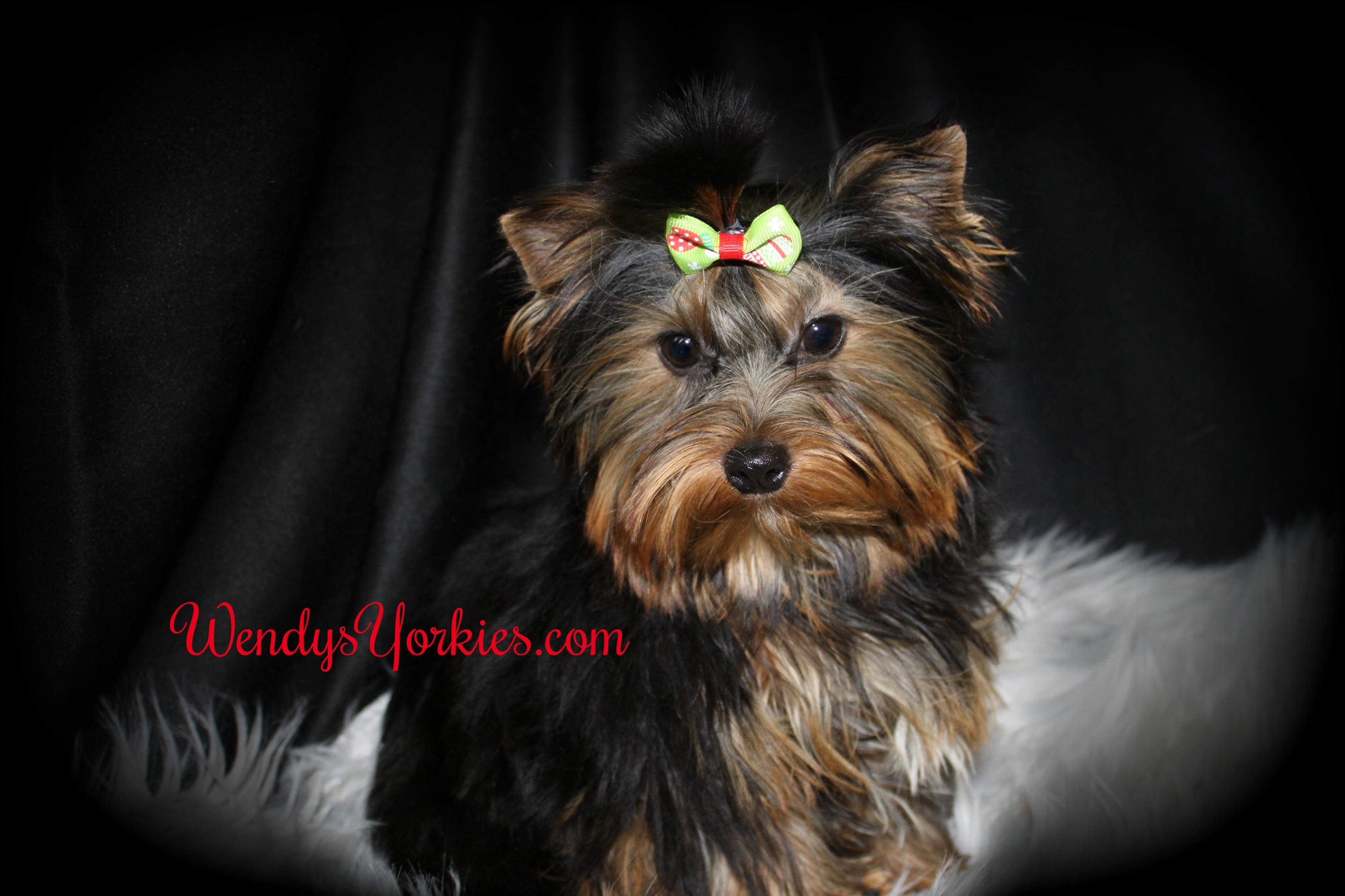Beautiful Yorkies for sale, WendysYorkies.com, Cookie