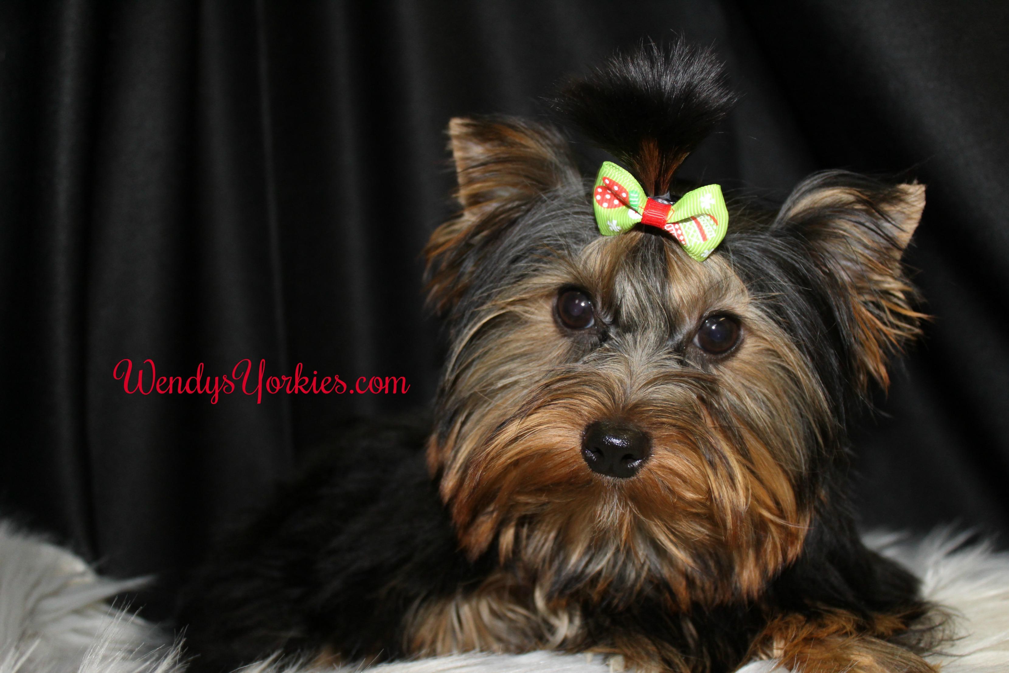 Cookie, WendysYorkies.com