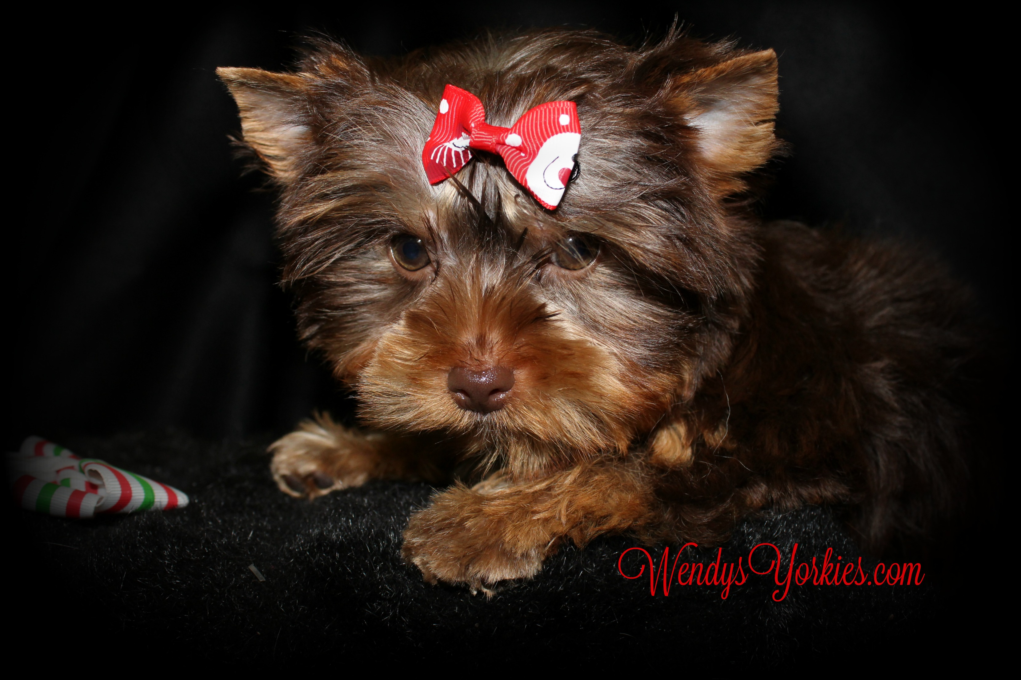 Male Chocolate Yorkie puppy for sale, WendysYorkies.com