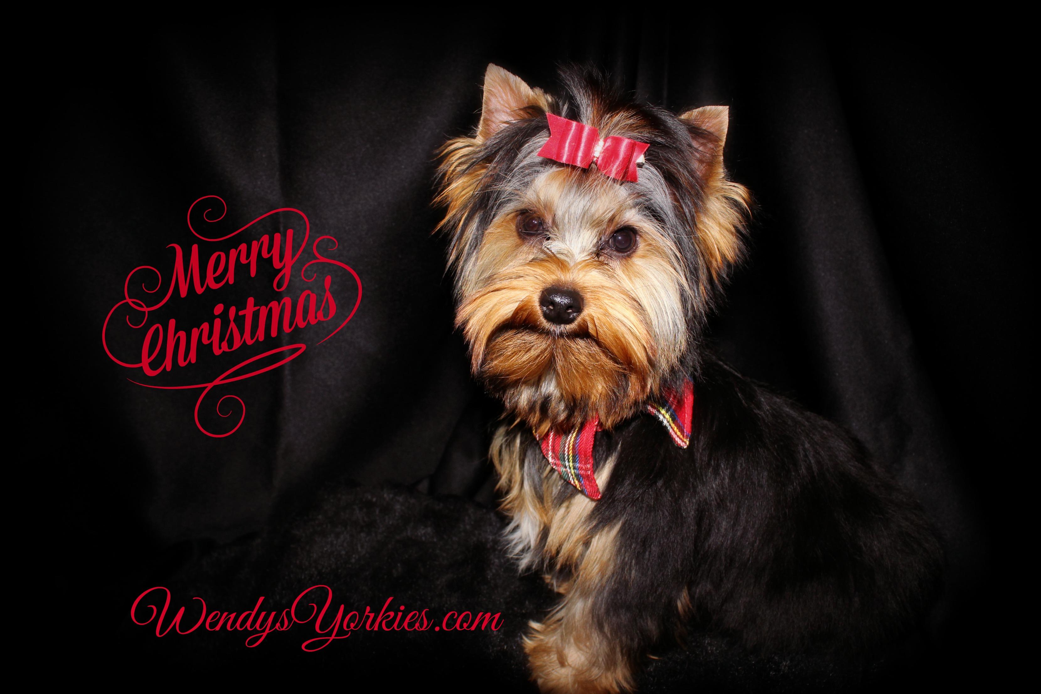 Merry Christmas Yorkie, Toy Yorkie puppy for sale, WendysYorkies.com, Zeus