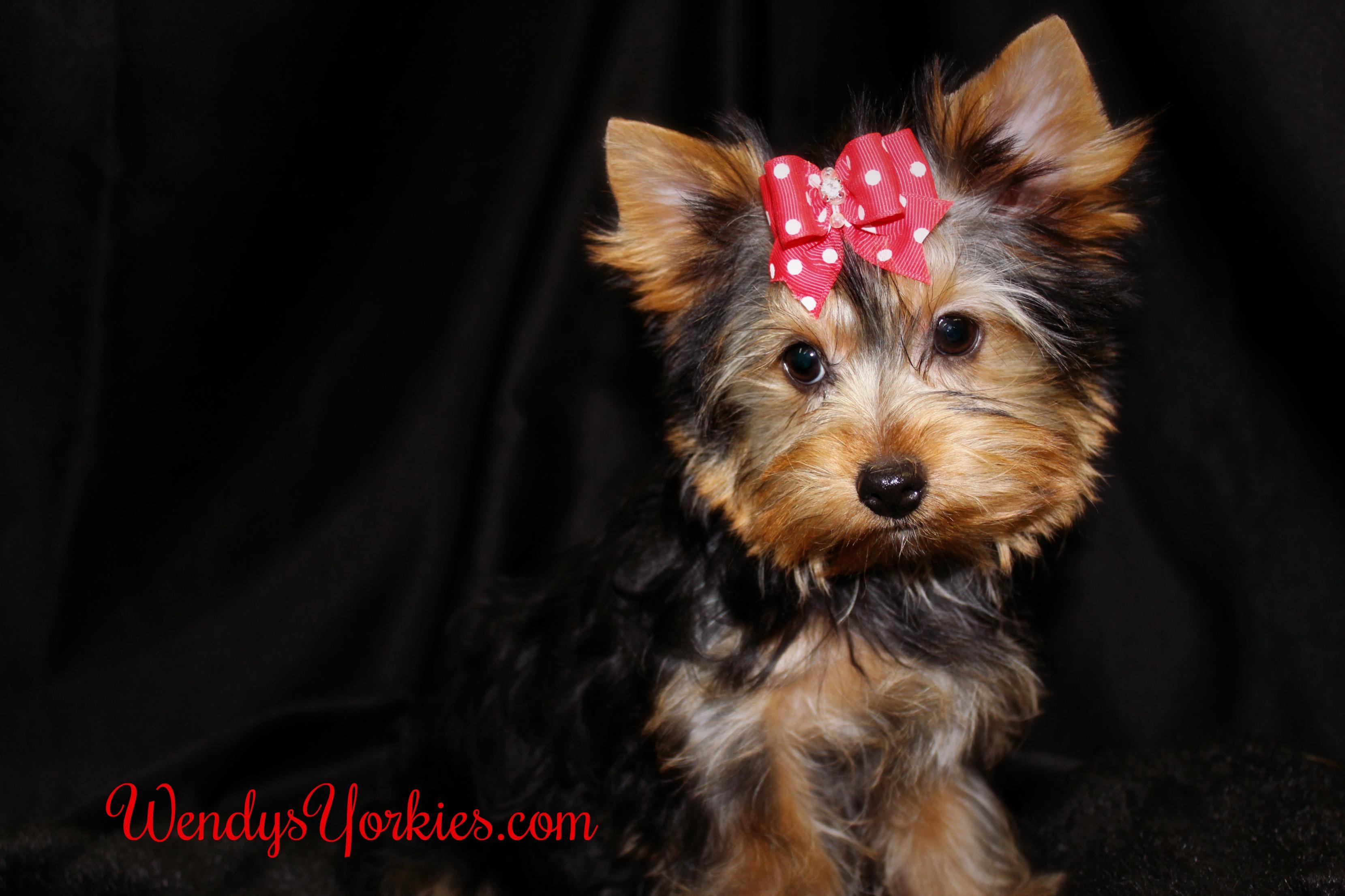 Teacup Yorkie puppies for sale, WendysYorkies.com, Holly