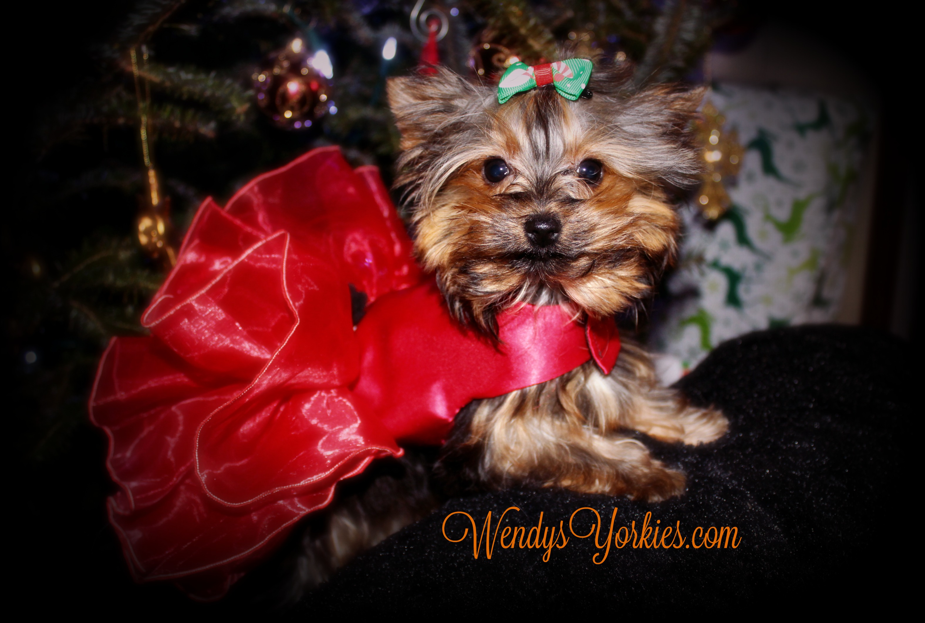Tiny Yorkie puppy for sale, Teacup Micro Yorkie puppies for sale, WEndysYorkies, Stormy