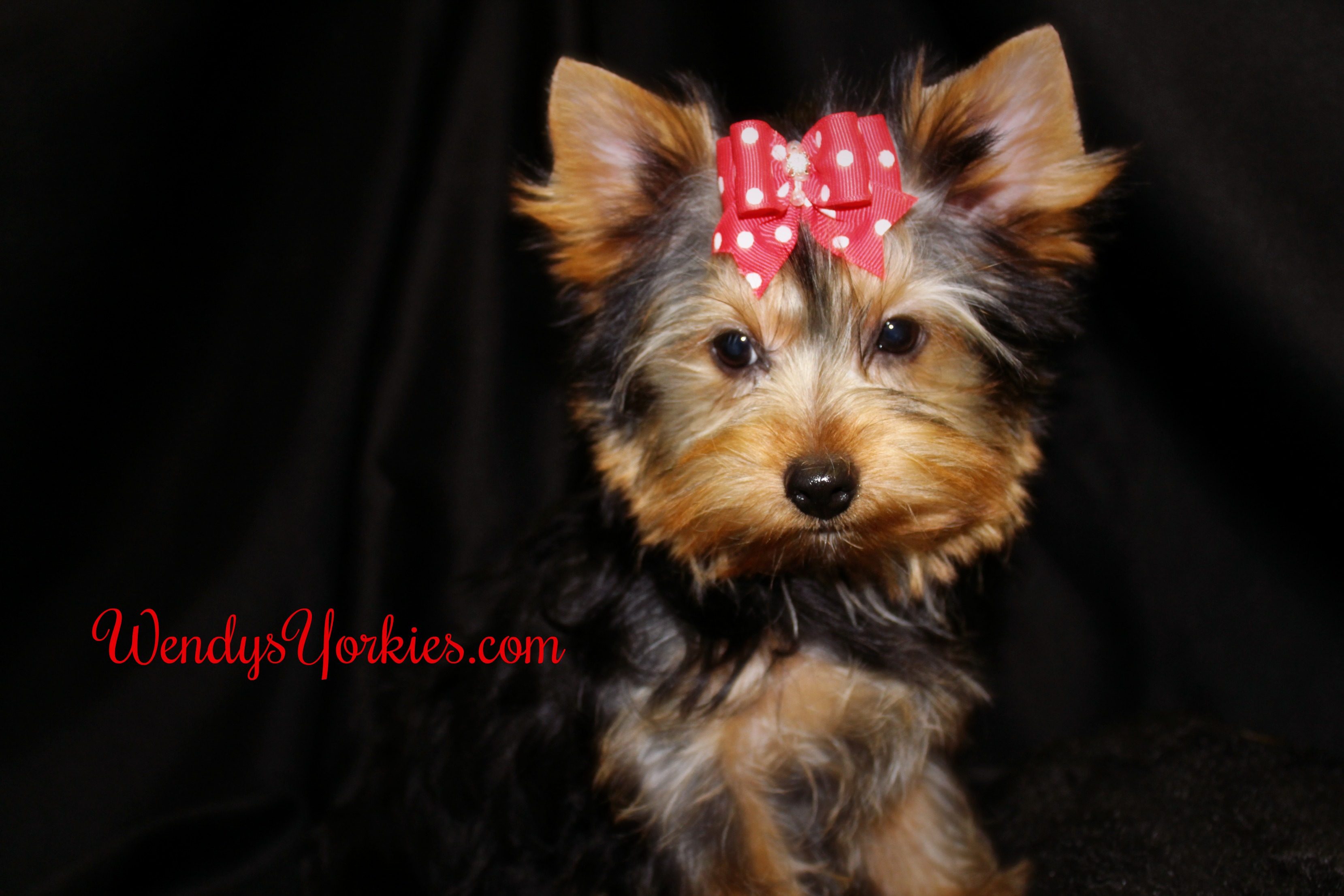 Toy Yorkie puppies for sale in Texas, WendysYorkies, Holly