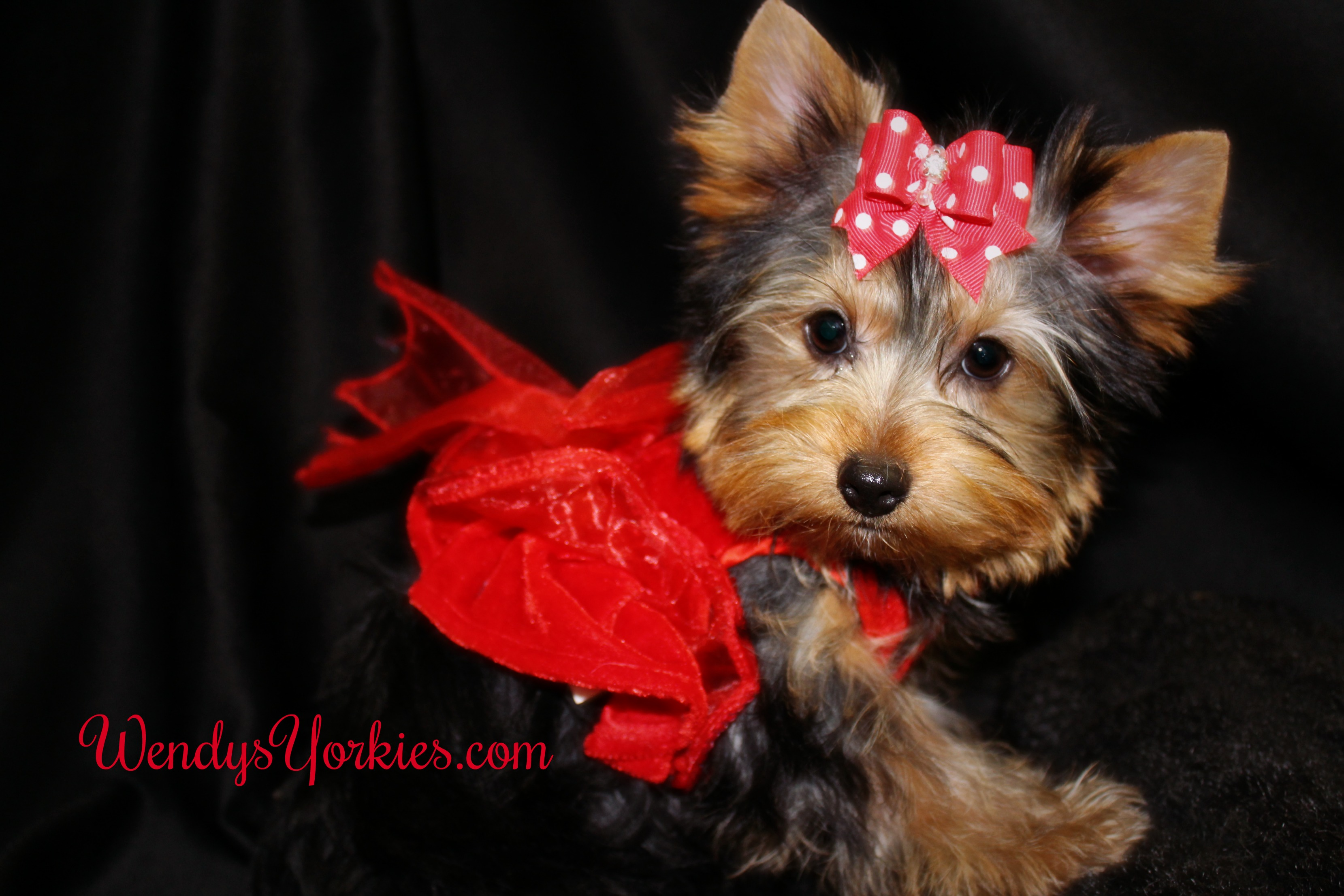 Toy Yorkie puppy for sale, WEndysYorkies.com, Holly