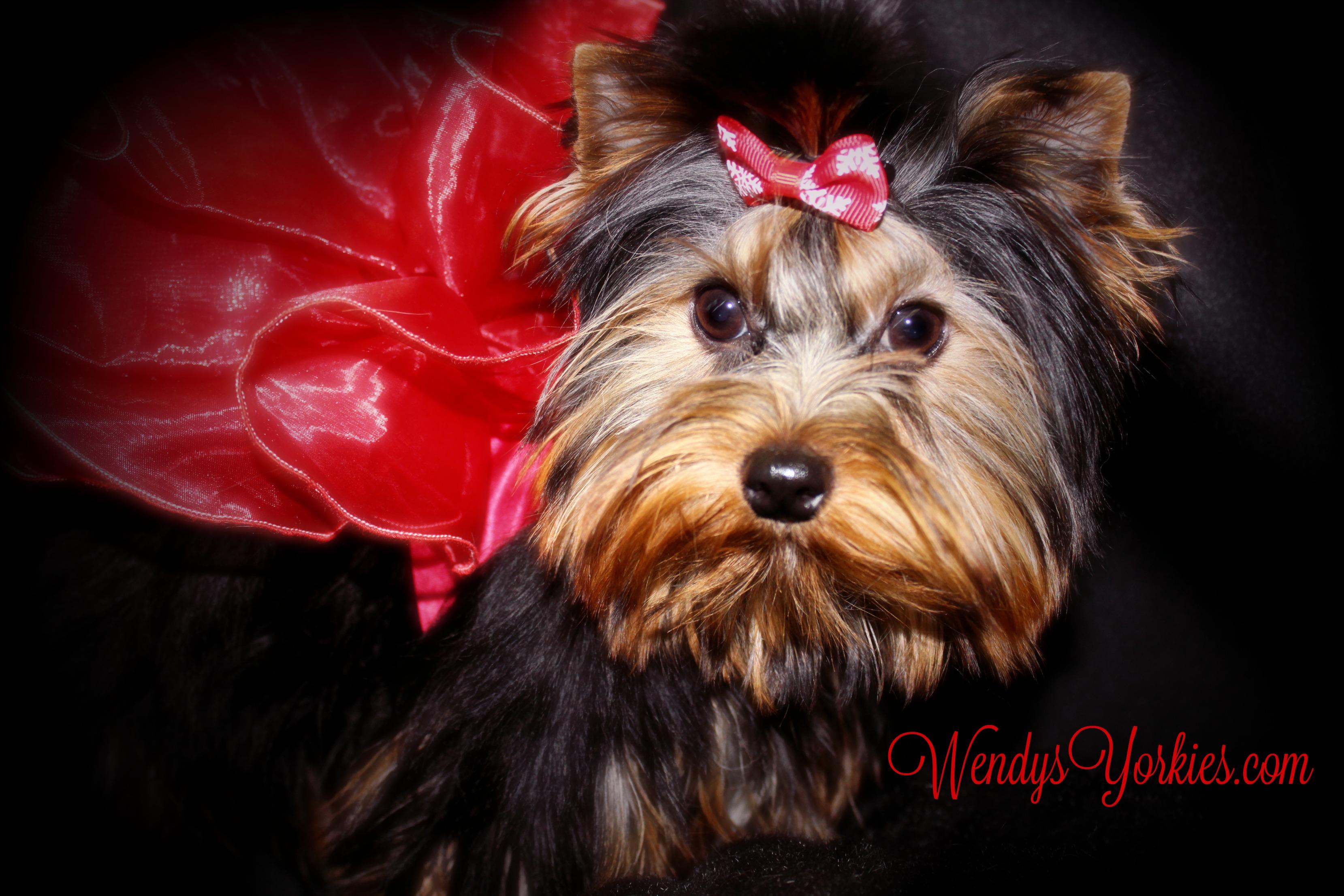 WendysYorkies.com, Teacup Yorkie puppy for sale, Cookie