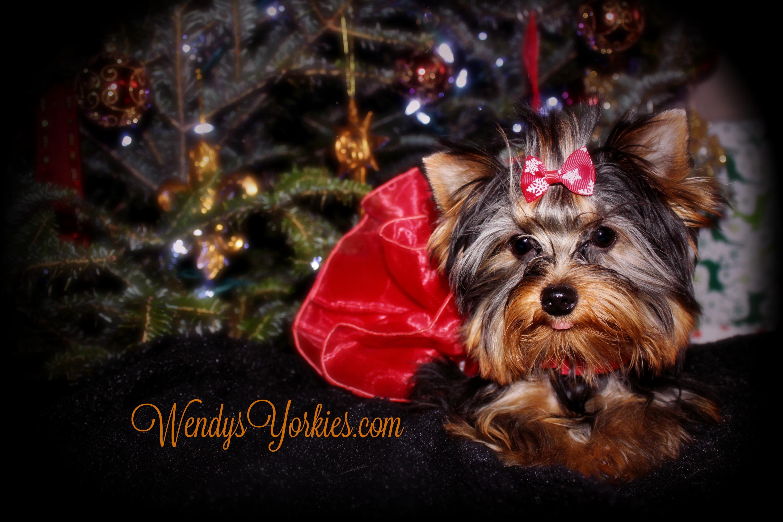 Yorkie puppies for sale, WendysYorkies.com, Abby2.0