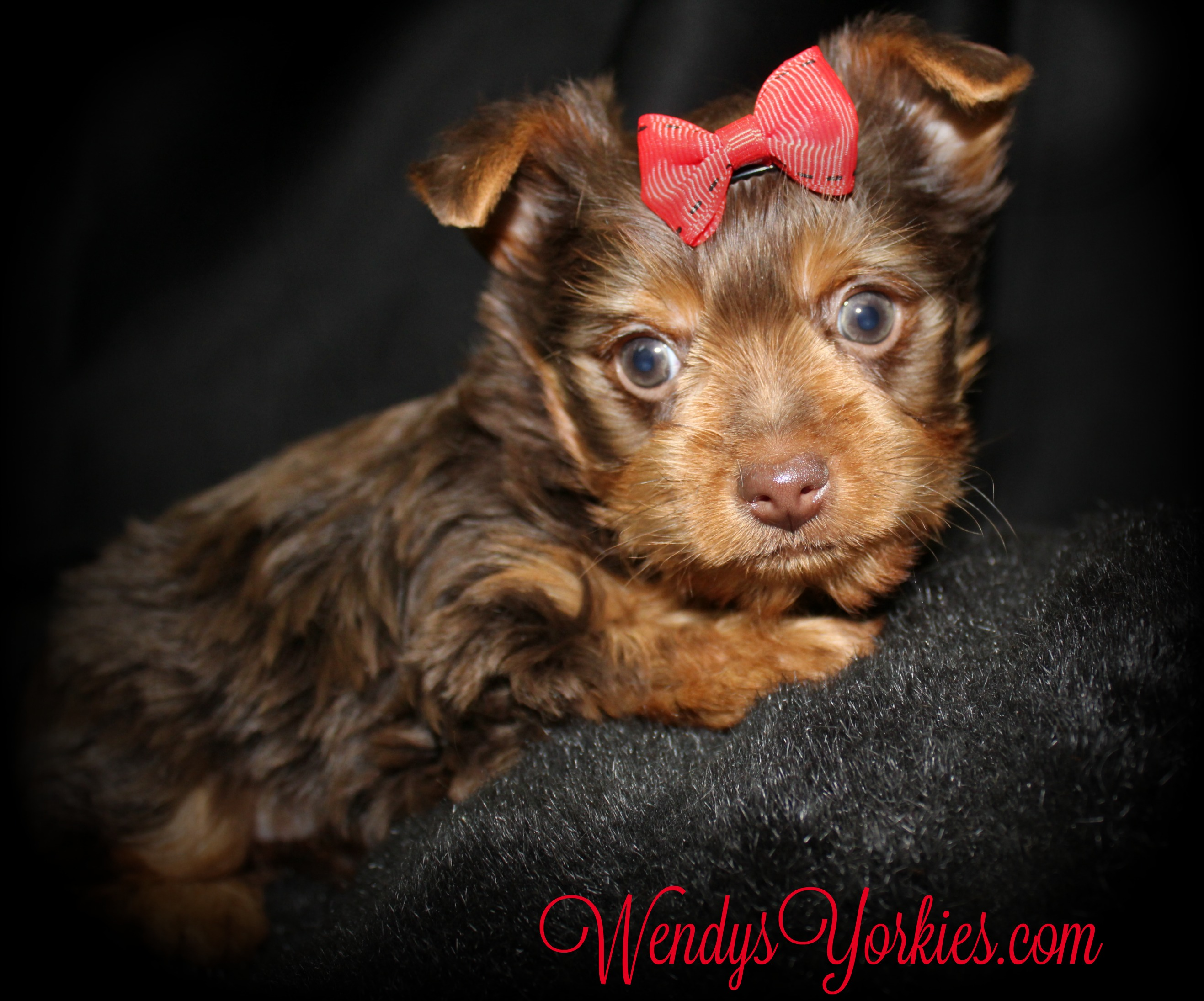 Chocolate Yorkie puppy for sale, WendysYorkies, Grace cm1