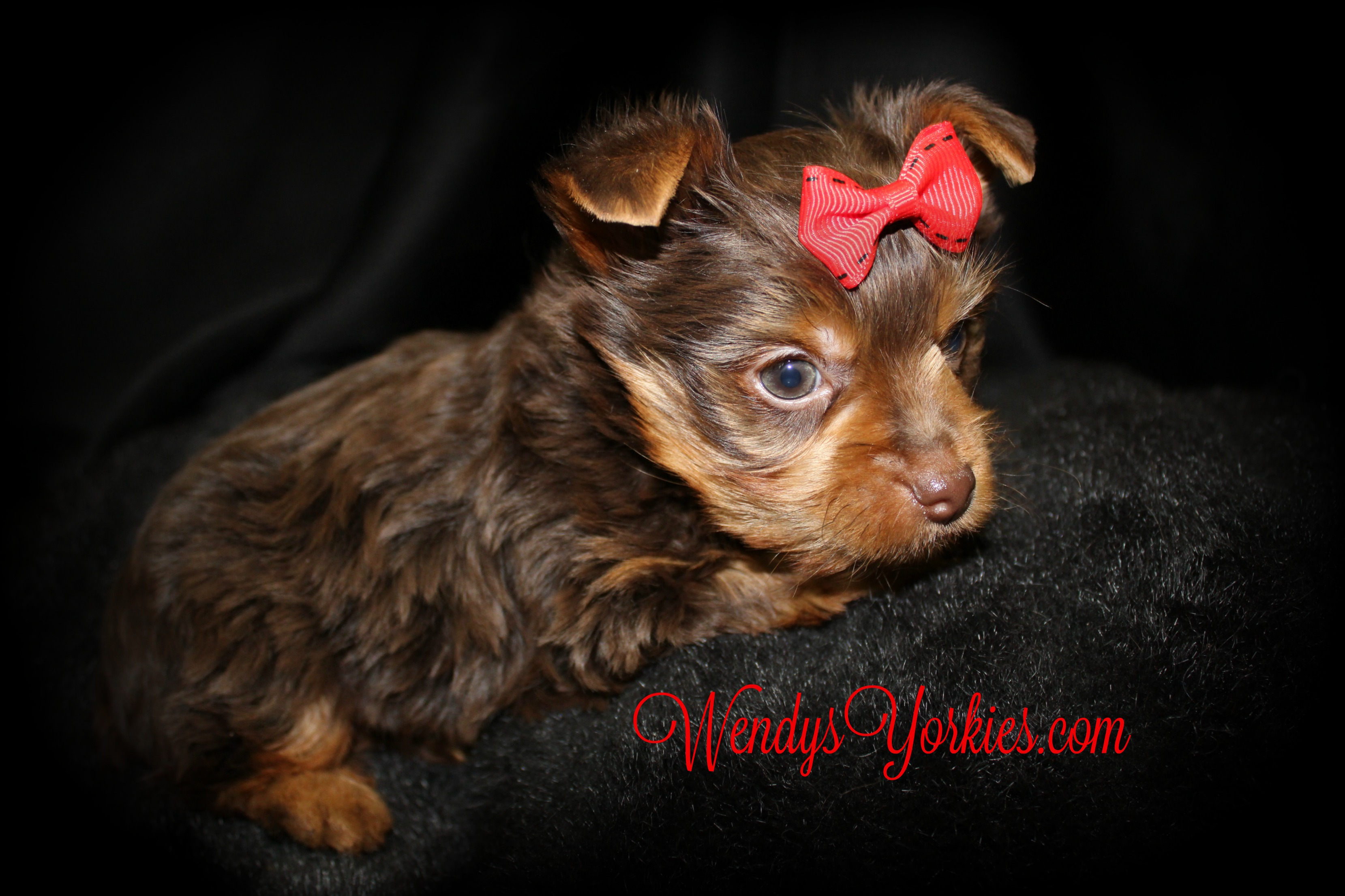 Chocolate Yorkie puppy for sale, WendysYorkies, Grace mc1