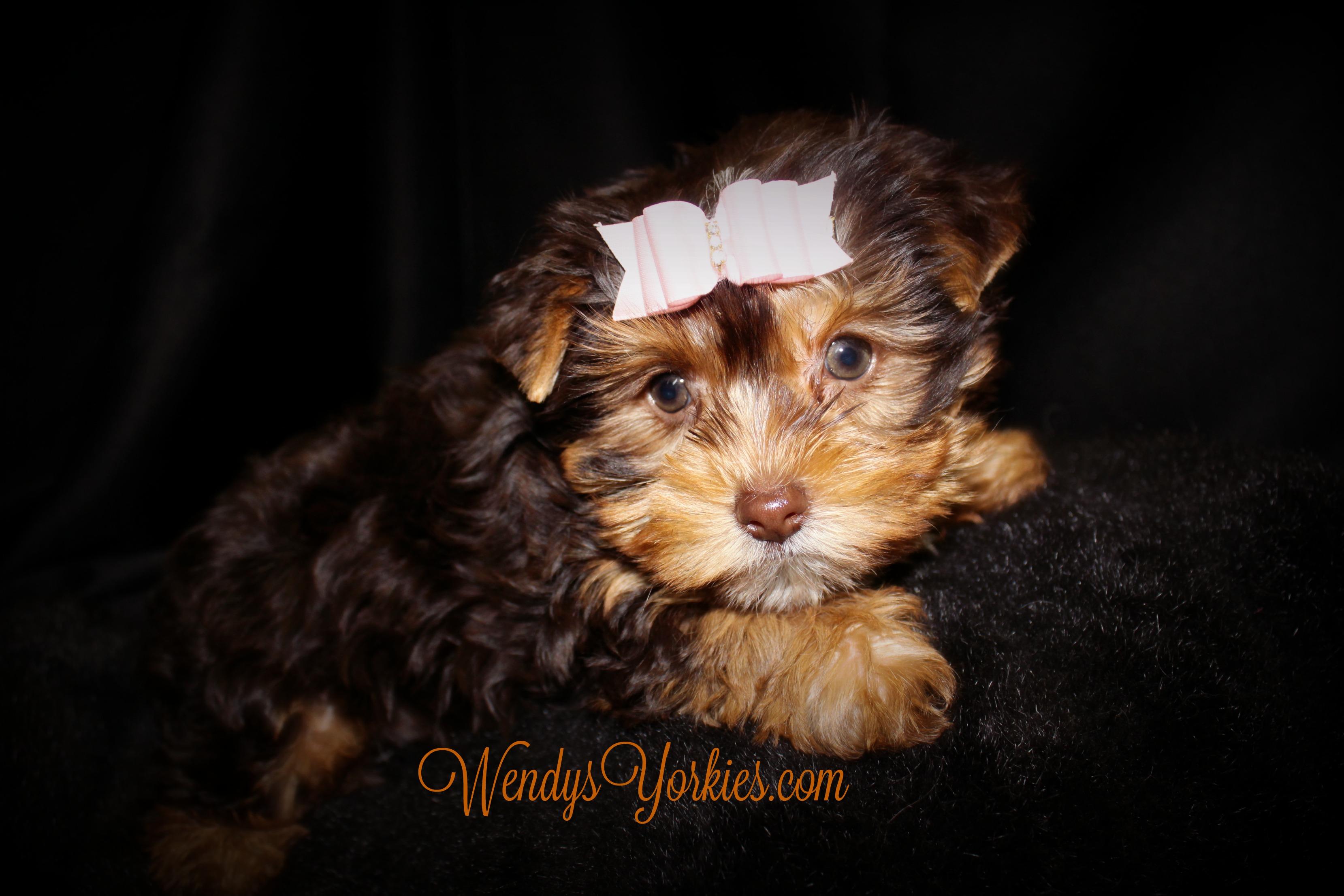 Chocolate Yorkie puppy for sale, WendysYorkies, Lela cf1