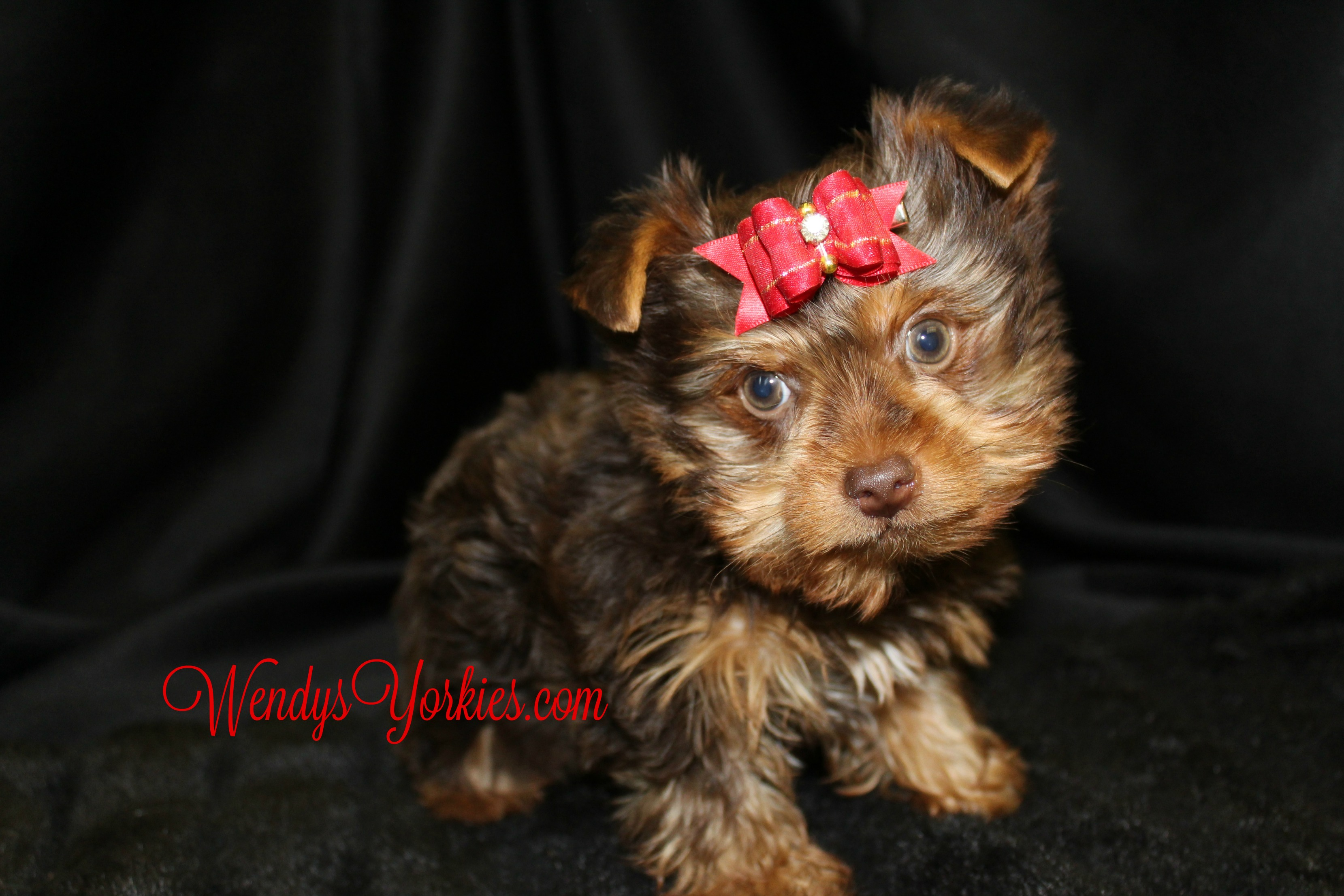 Chocolate Yorkie puppy for sale, WendysYorkies.com, Lela Cm1