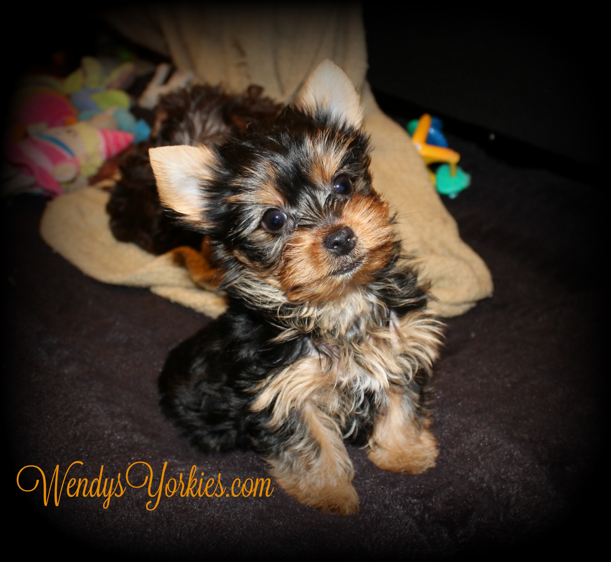 Cute Yorkie puppy for sale, WendysYorkies.com, Anna m1