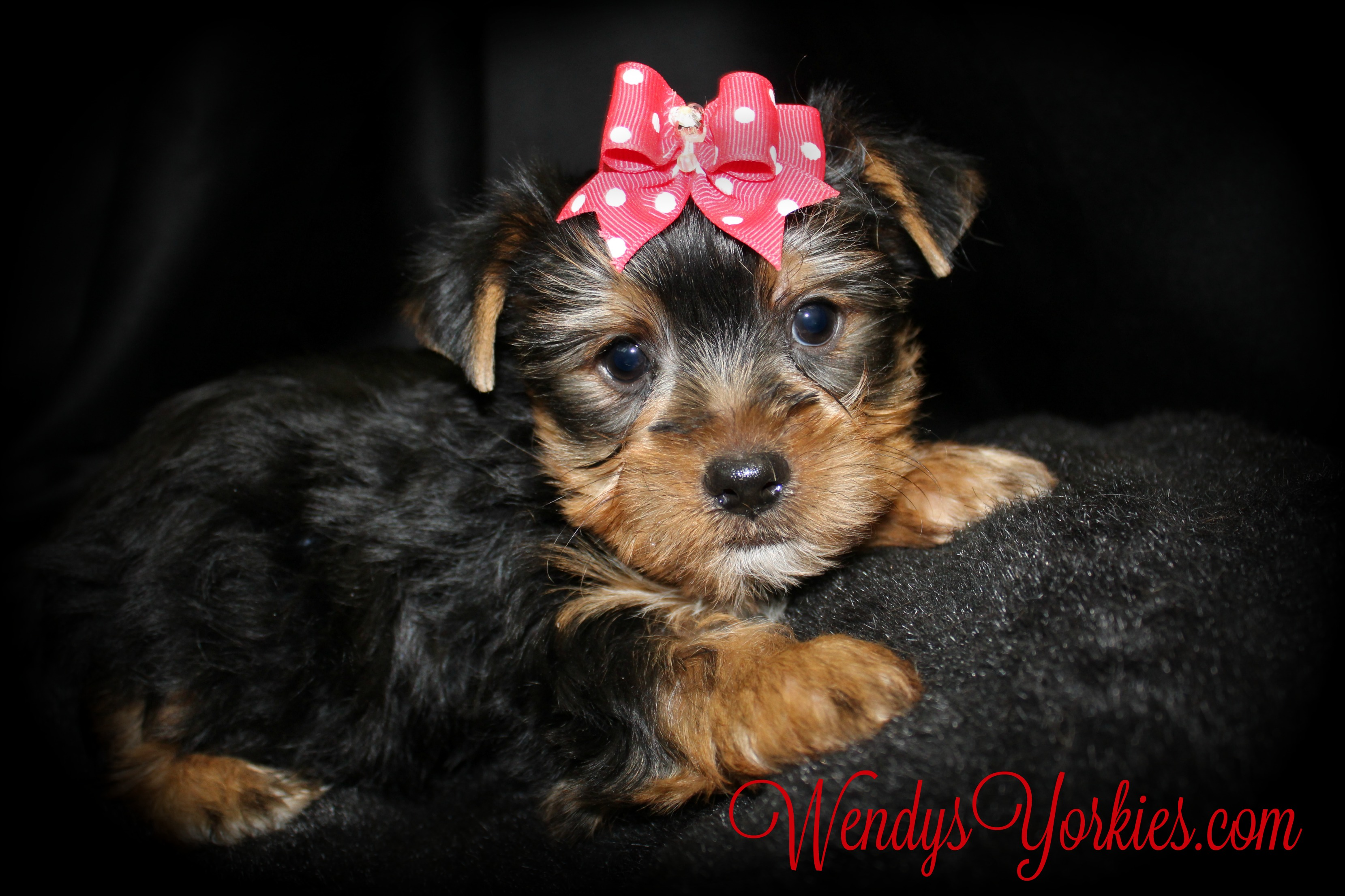 Cutest Yorkie puppy for sale, WendysYorkies.com, Blossom m2
