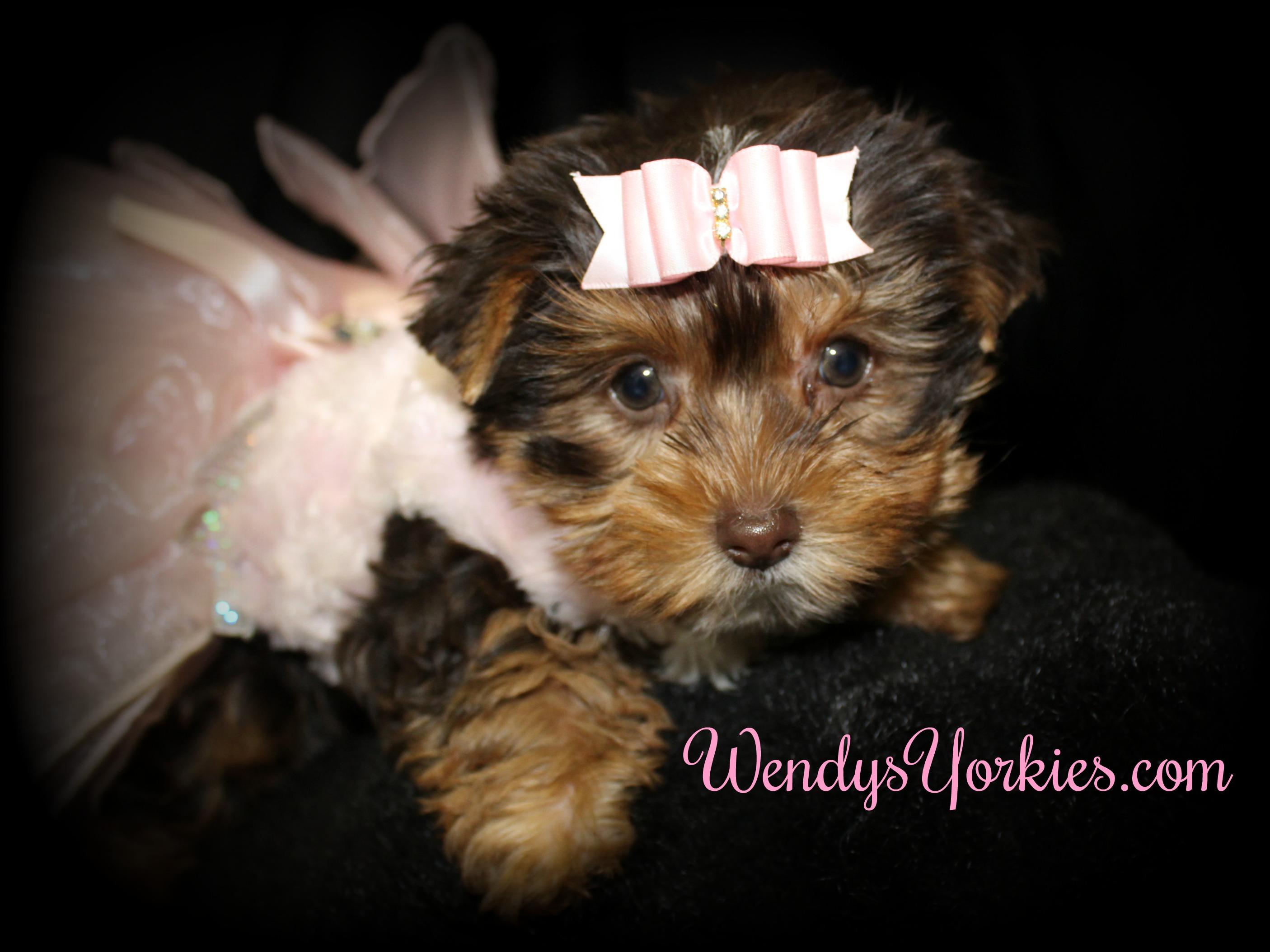 Female Chocolate Yorkie puppy for sale, WendysYorkies.com, Cf1