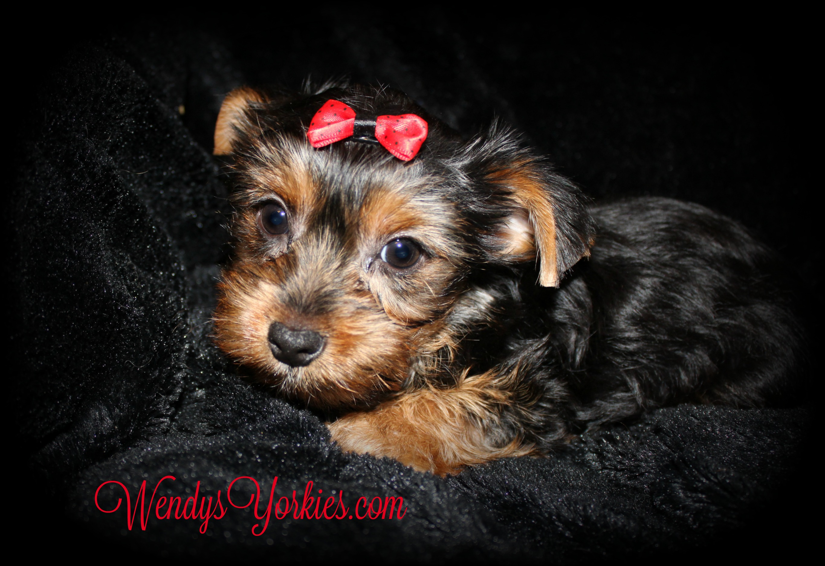 Male Yorkie puppy for sale, WendysYorkies.com, Anna m2
