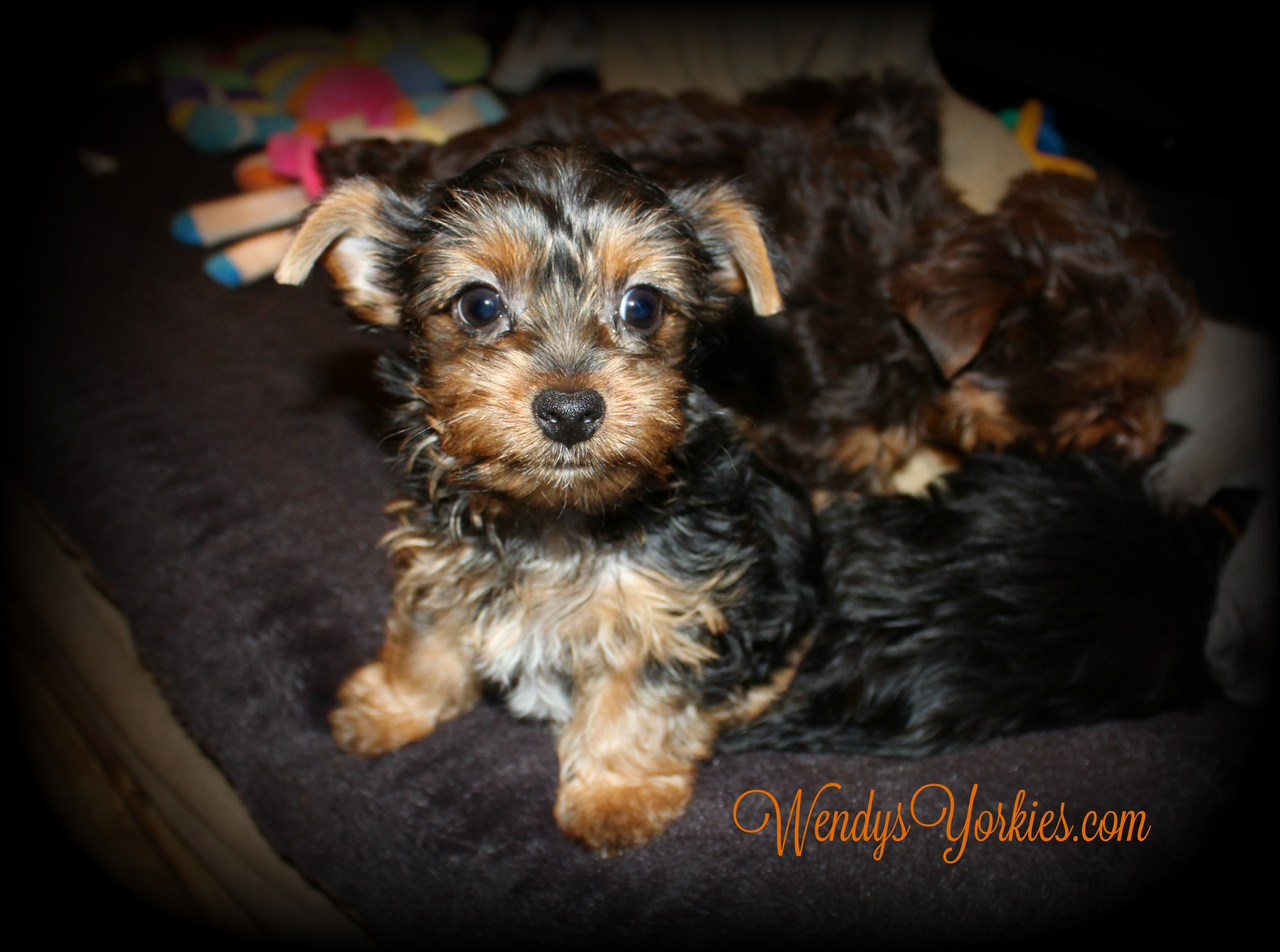 TEacup Male Yorkie puppies for sale, WendysYorkies.com, Anna m2