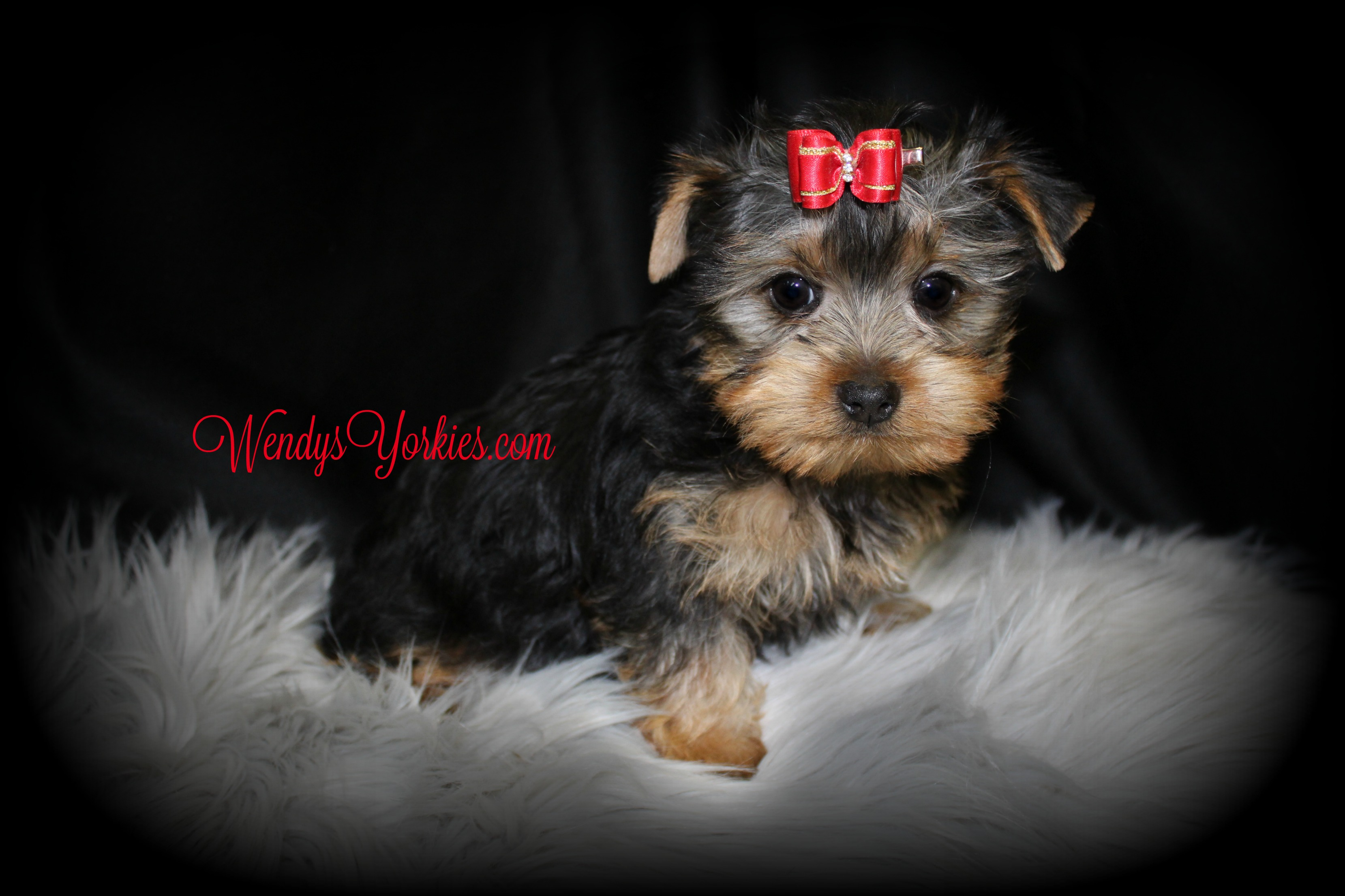 TEacup Male Yorkie puppy for sale, WendysYorkies.com, Ladys Lacy m2