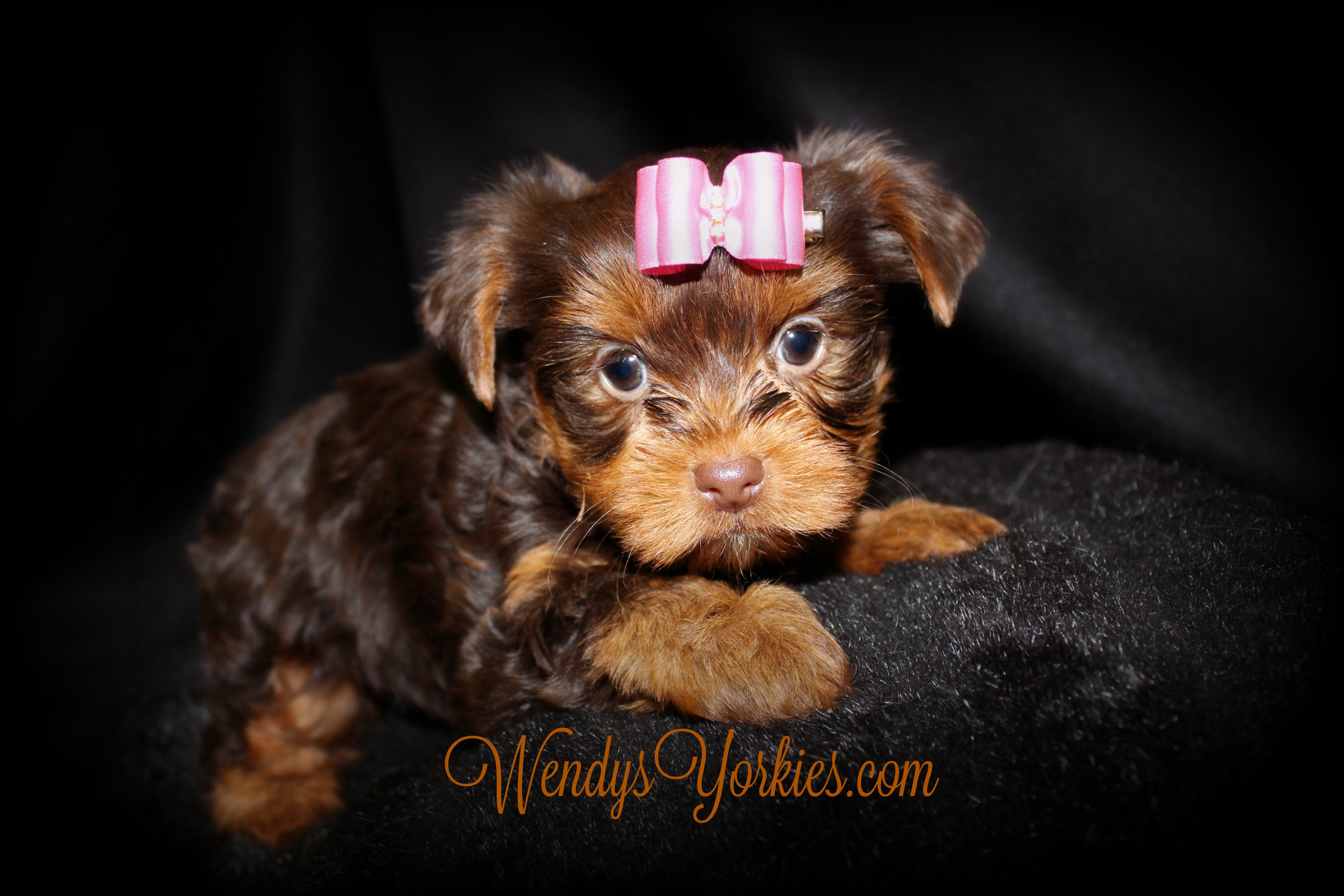 Teacup Chocolate Yorkie puppy for sale, WEndysYorkies, Lela cf1