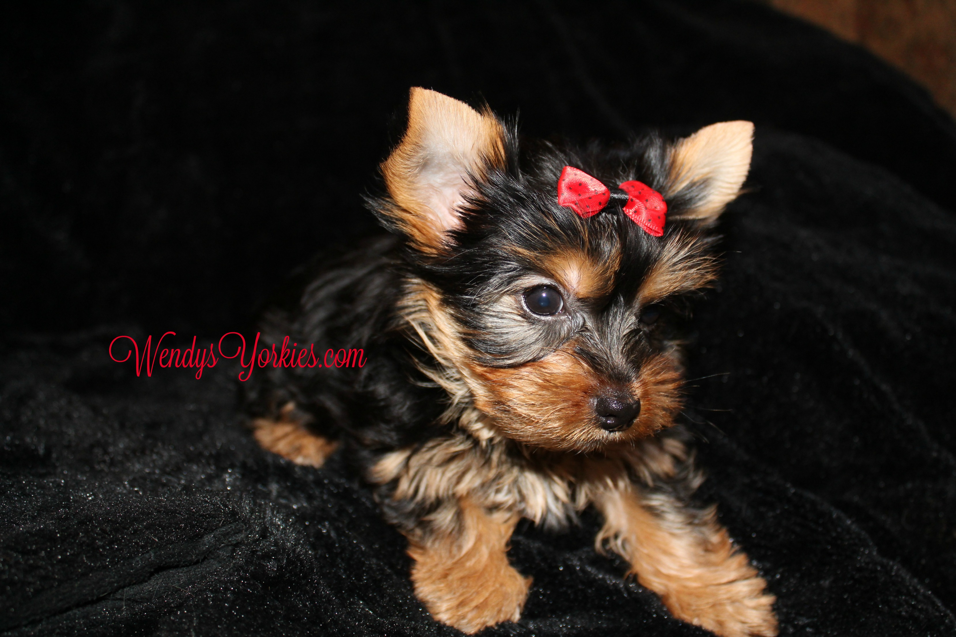 Teacup YOrkie puppy for sale, Anna m1