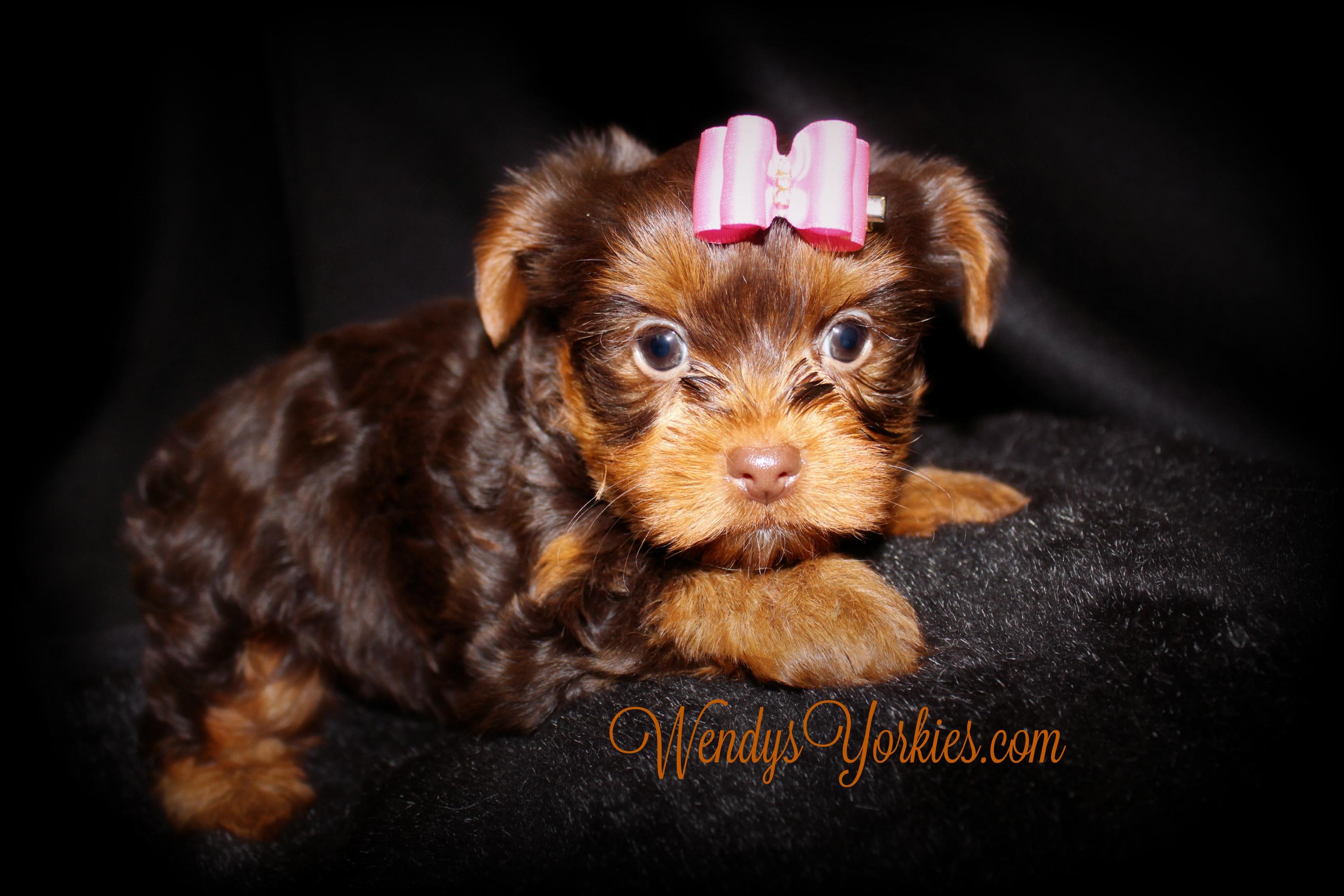 Tiny Chocolate Yorkie puppies for sale, WendysYorkies.com, Lela fc1