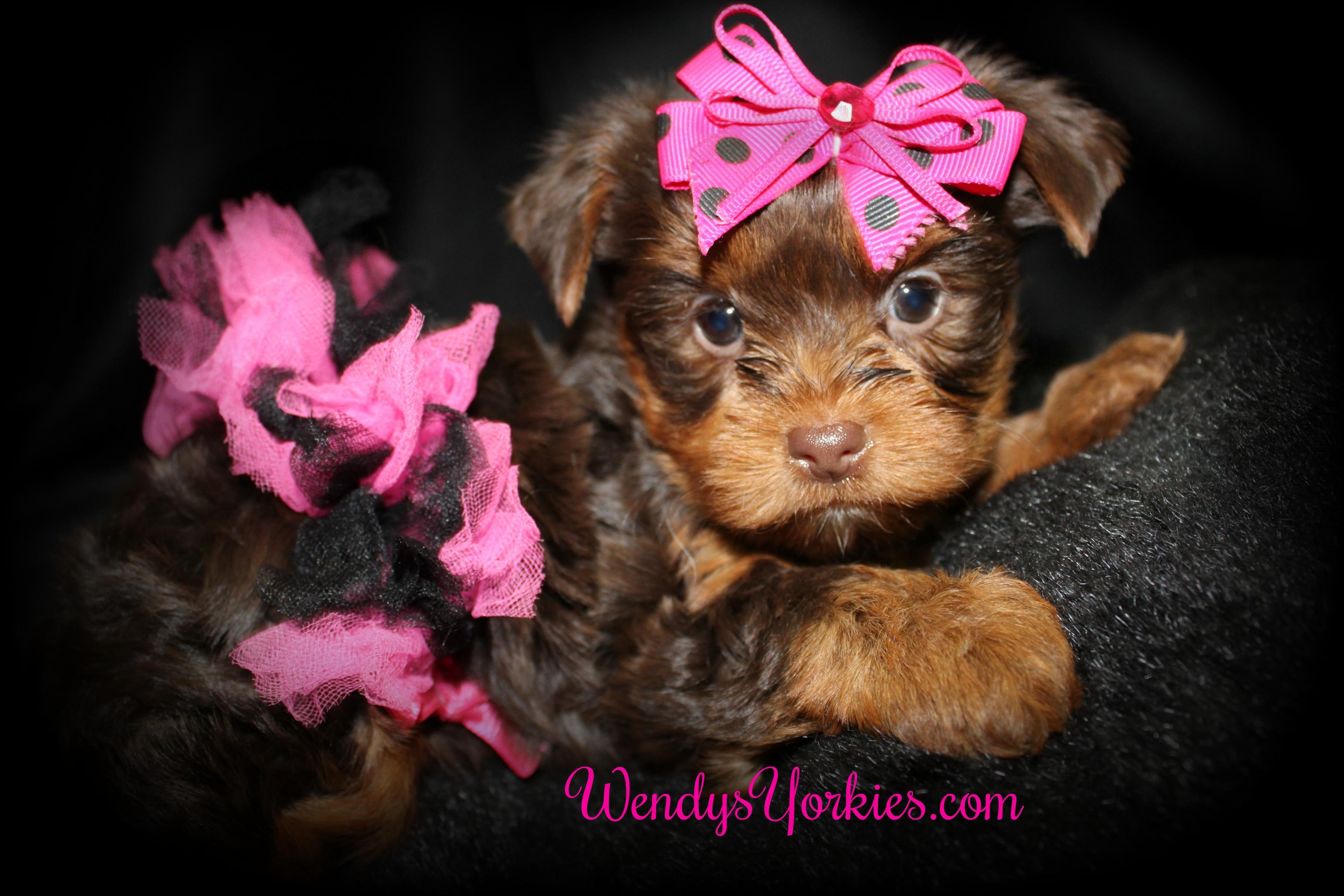Toy Chocolate Yorkie puppy for sale, WendysYorkies.com, Lela Cf1