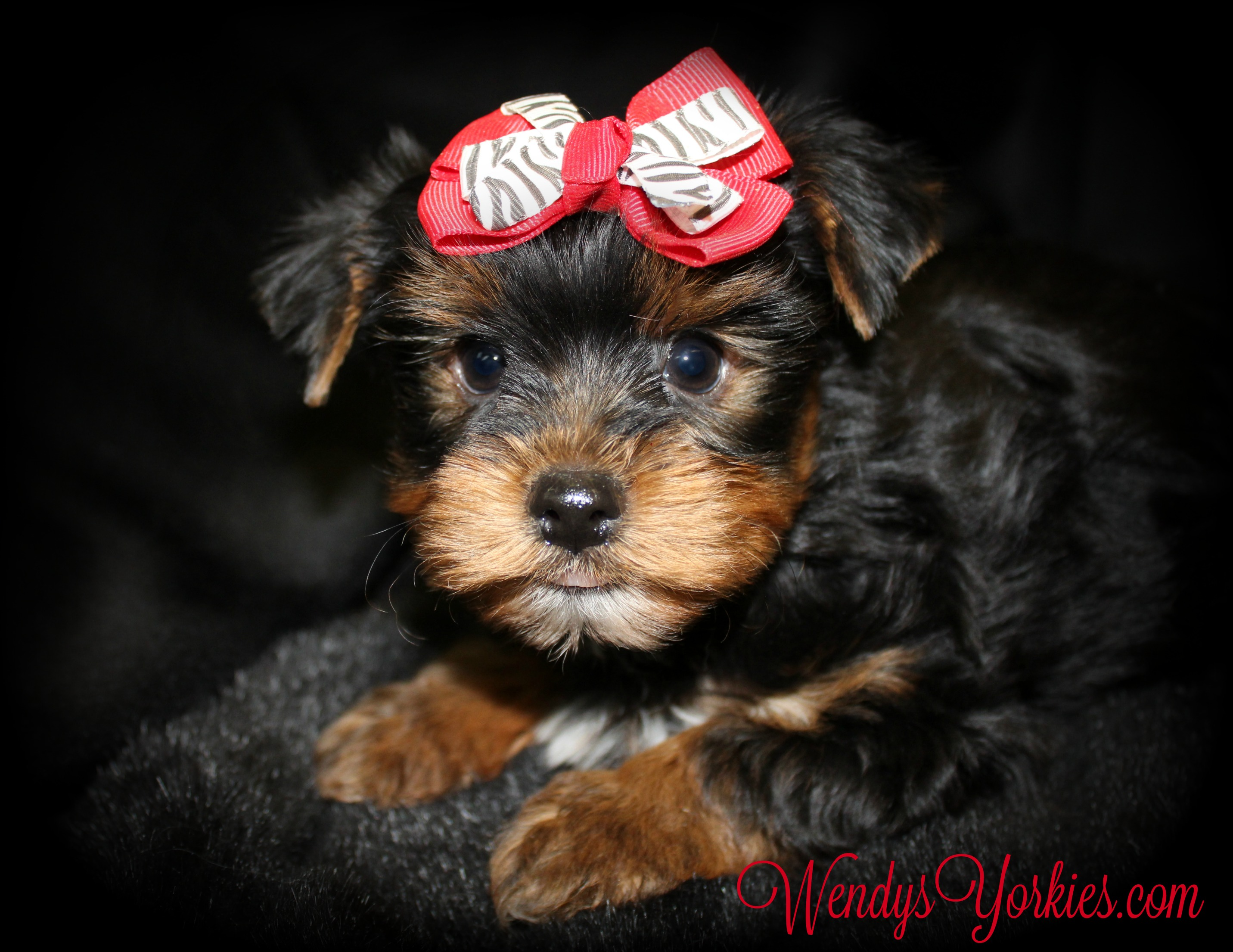 Toy Yorkie puppies for sale, WendysYorkies.com, Blossom M1
