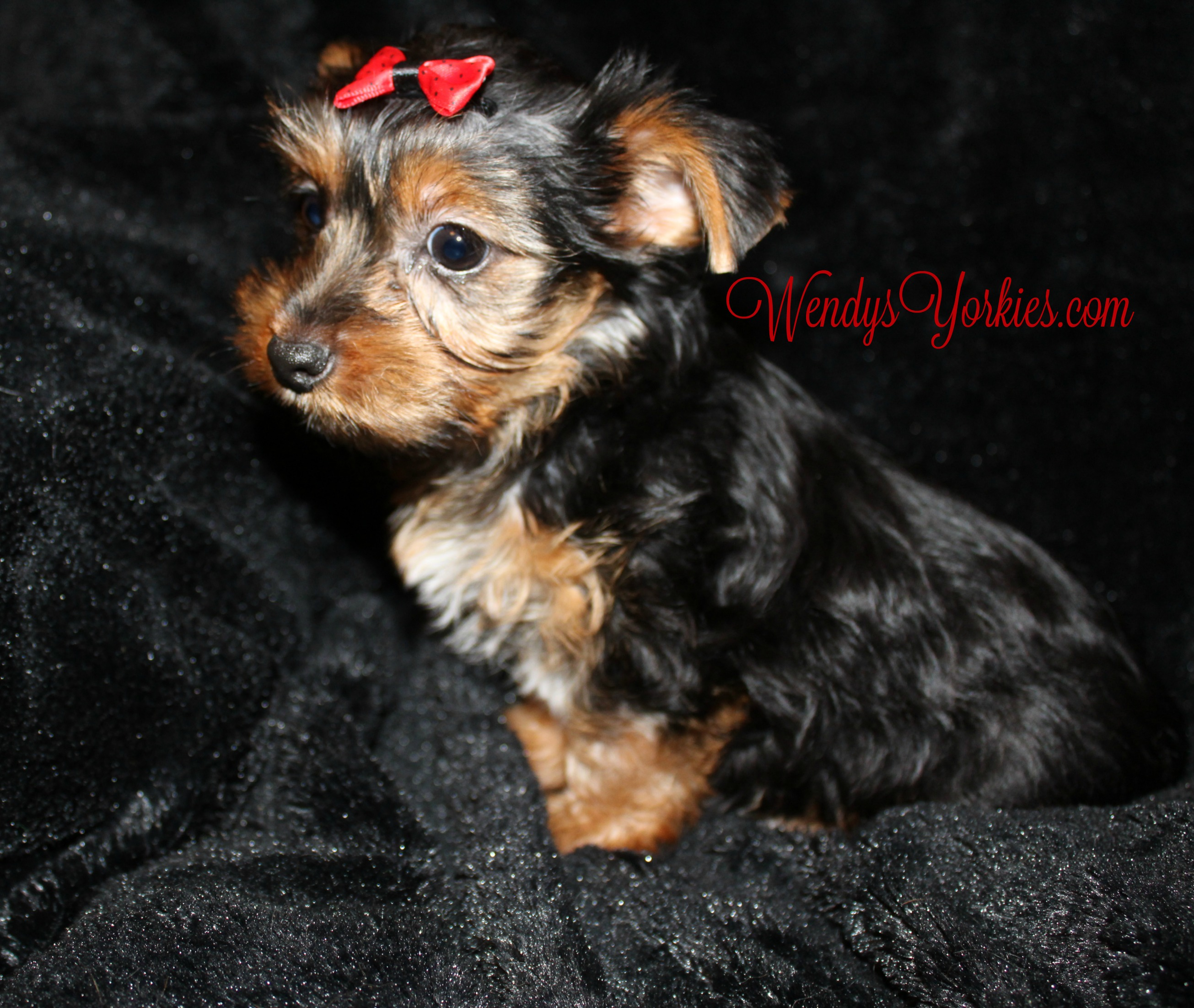 Yorkie Puppies for sale in Texas, Anna m2
