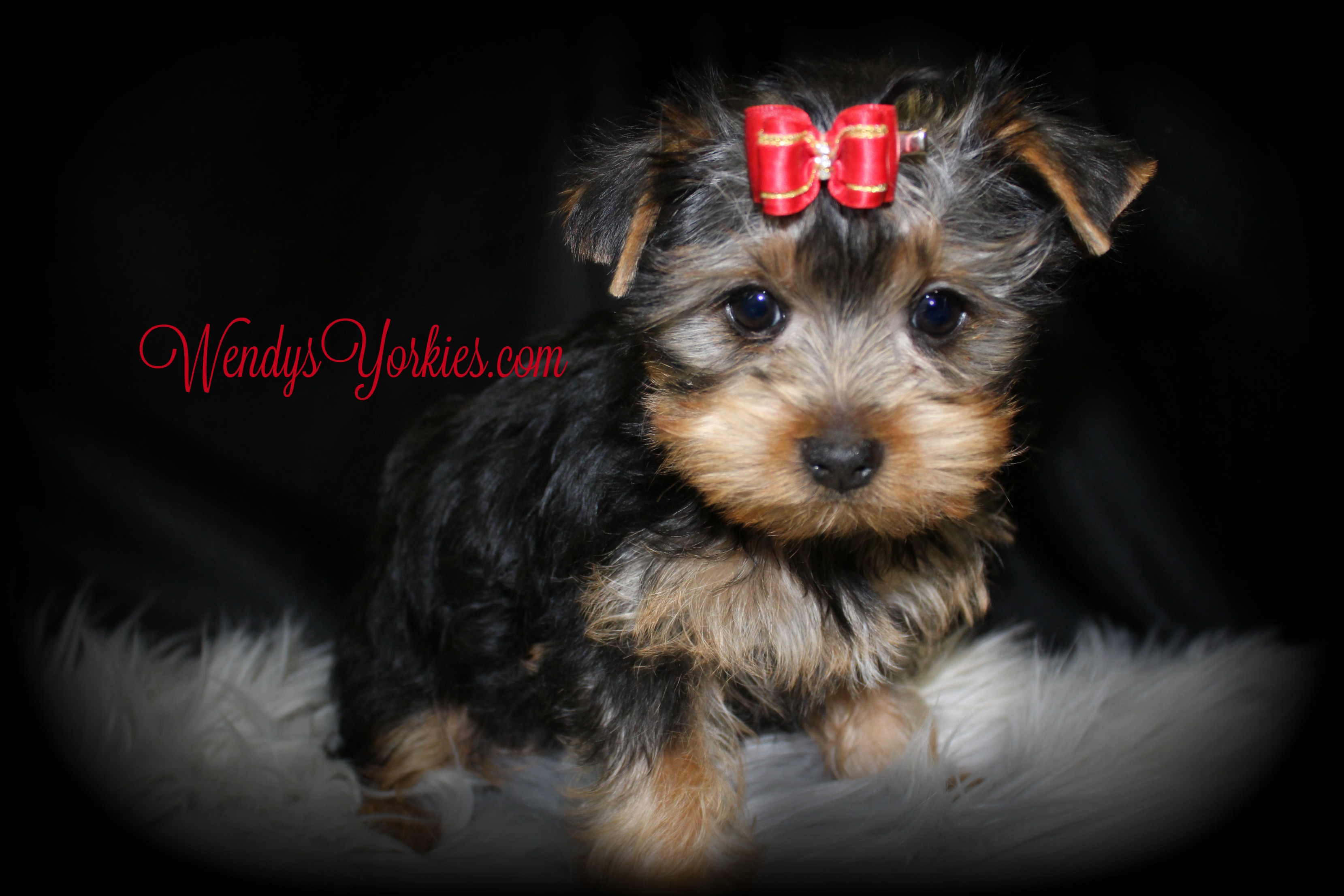 Yorkie puppies for sale, WEndysYorkies.com, Ladys Lacy m2