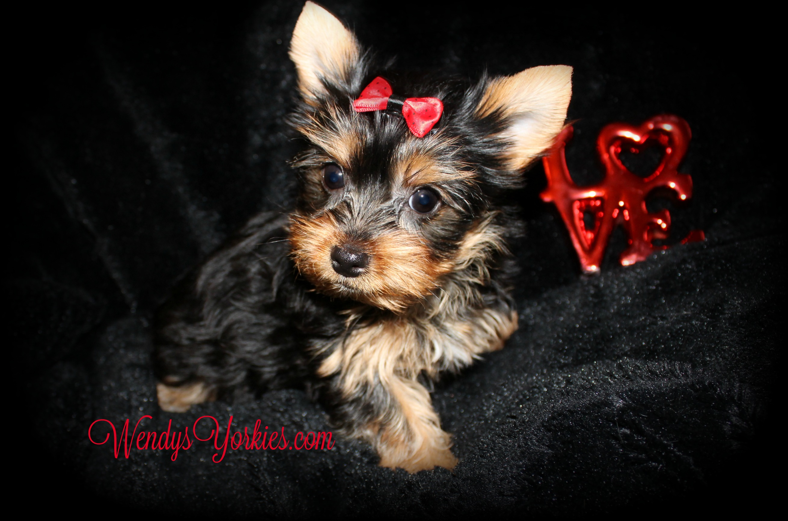 Yorkie puppies for sale in Texas, WendysYorkies.com, Anna M1