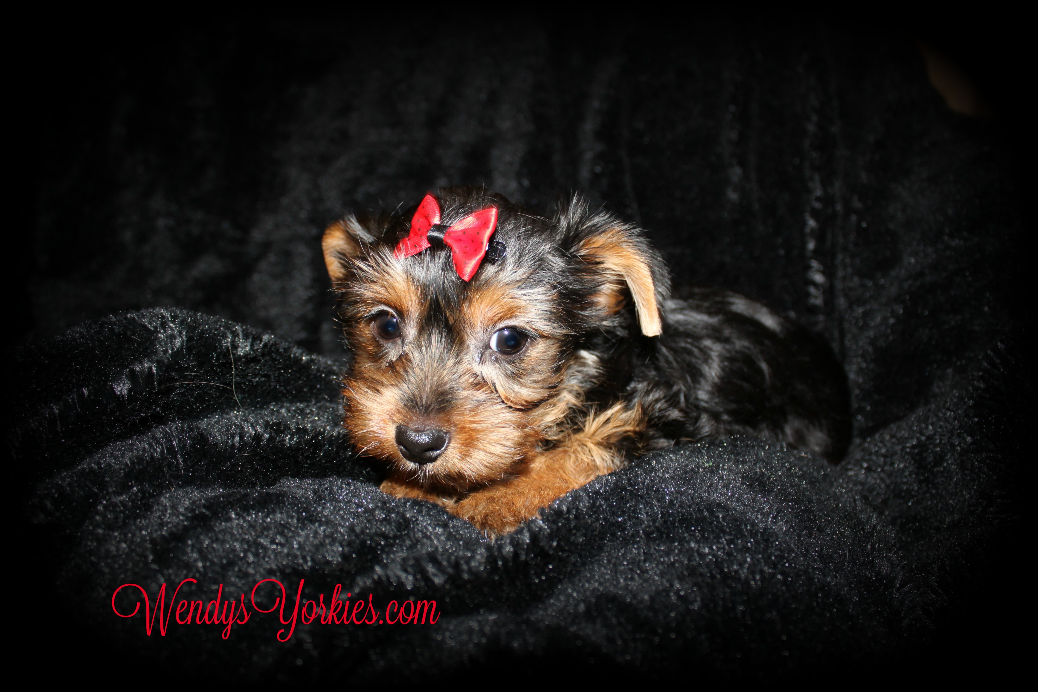 Yorkie puppy for sale, WEndysYorkies, Anna m2