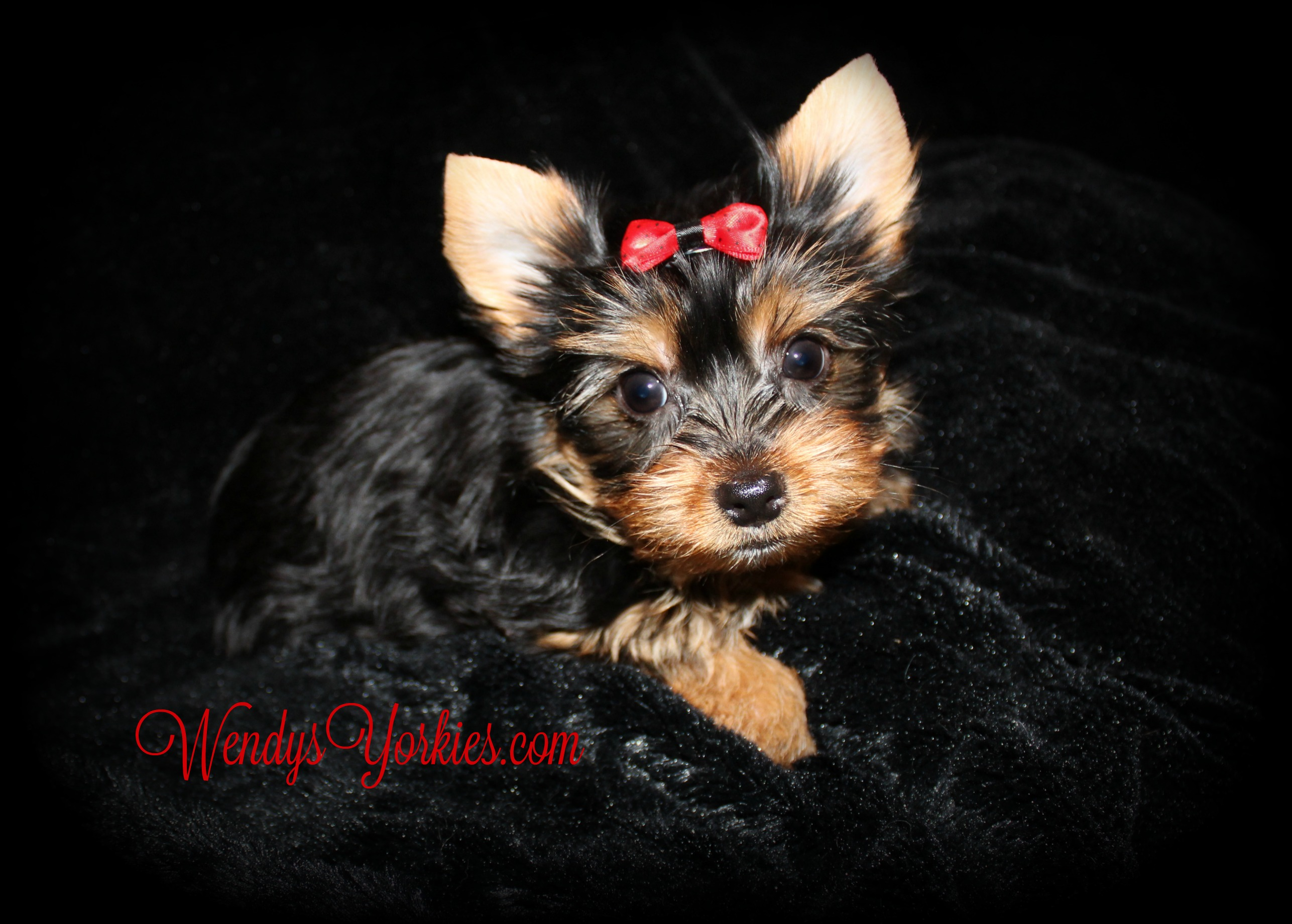 Yorkie puppy for sale, WendysYorkies.com, Anna m1