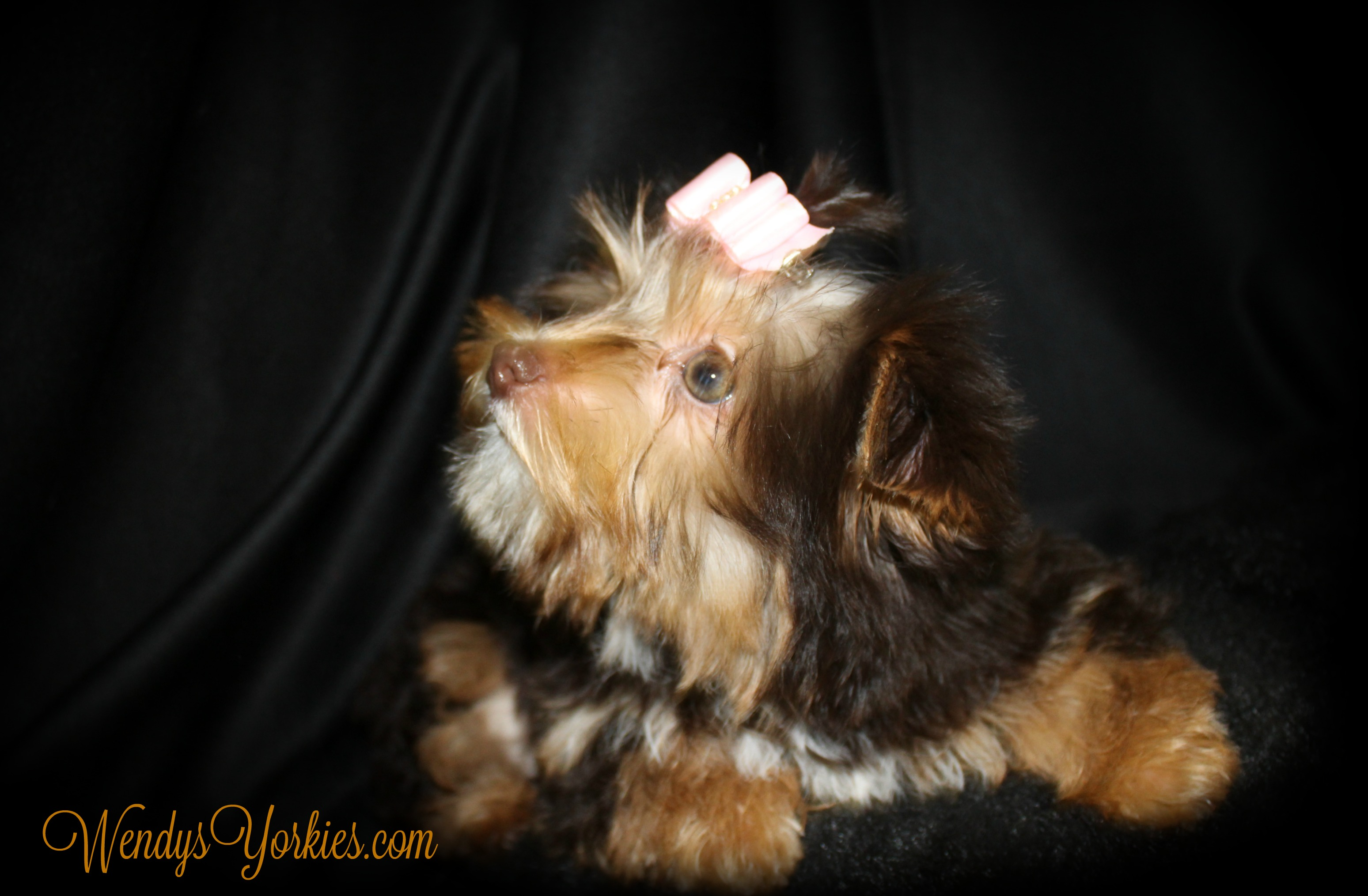 Chocolate Parti Yorkie puppy for sale, WendysYorkies.com, Allie
