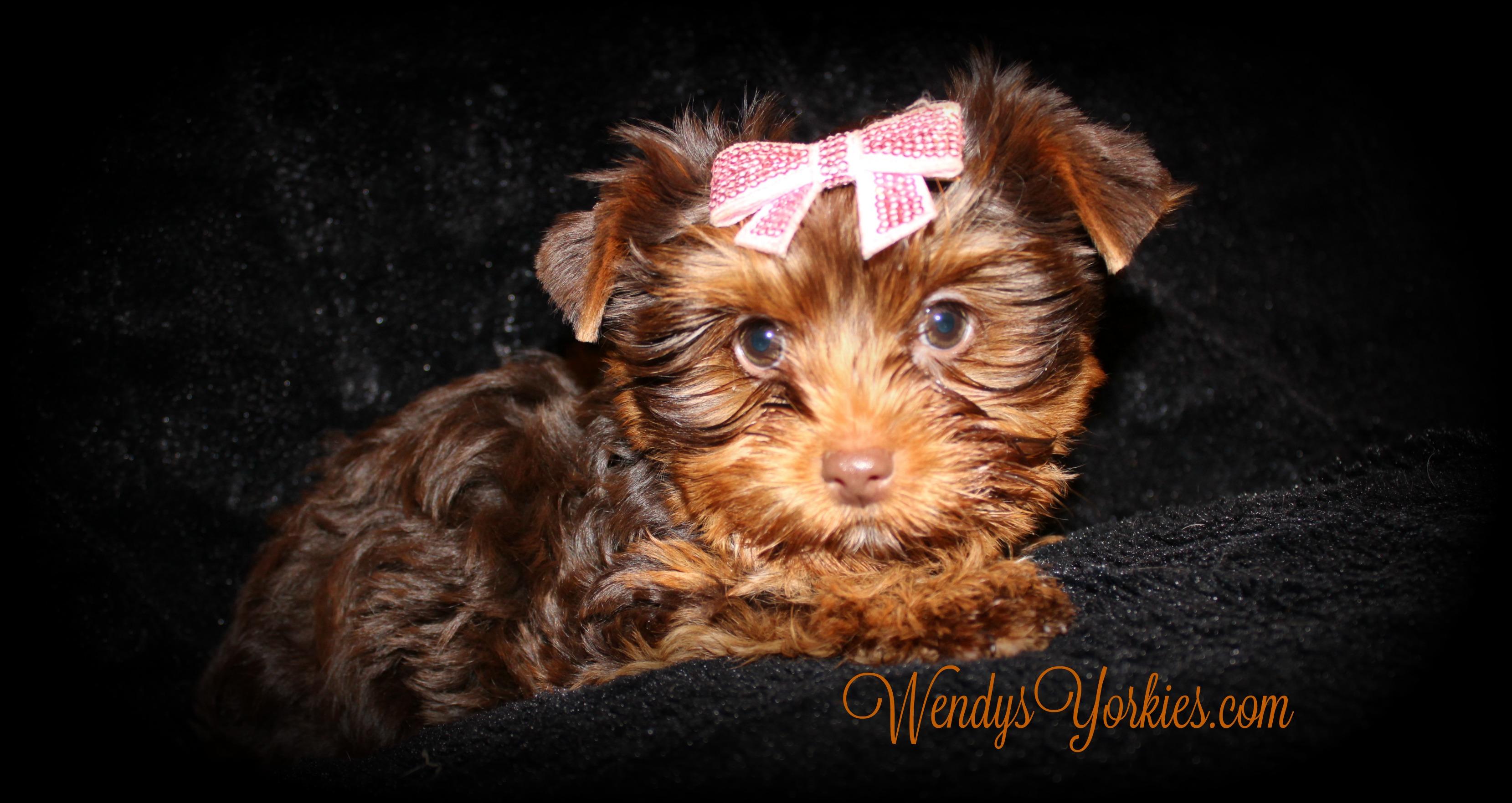 Chocolate Yorkie female puppy for sale, WendysYOrkies.com, Lela fc1