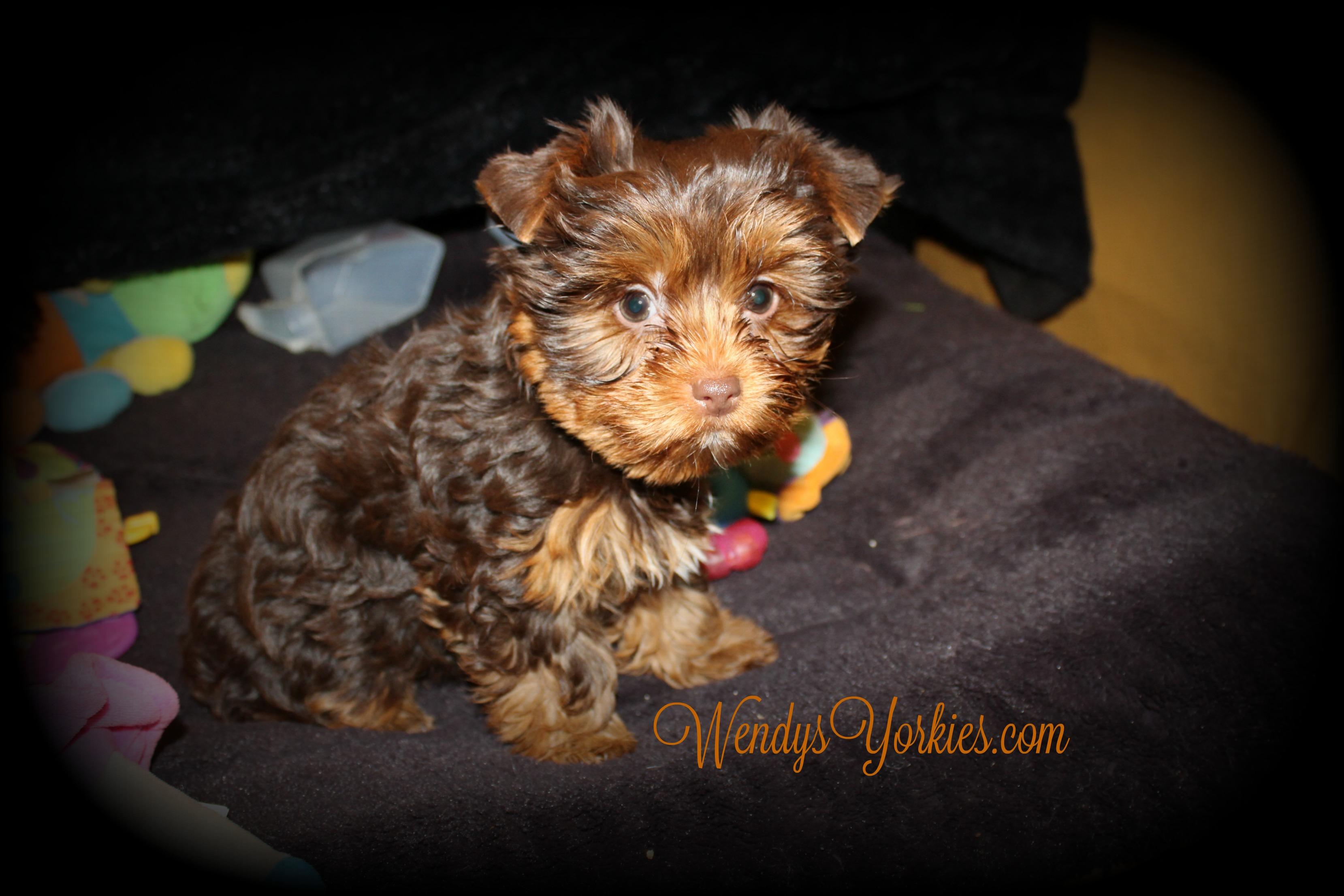Chocolate Yorkie puppies for sale, WendysYorkies, Lela cf1