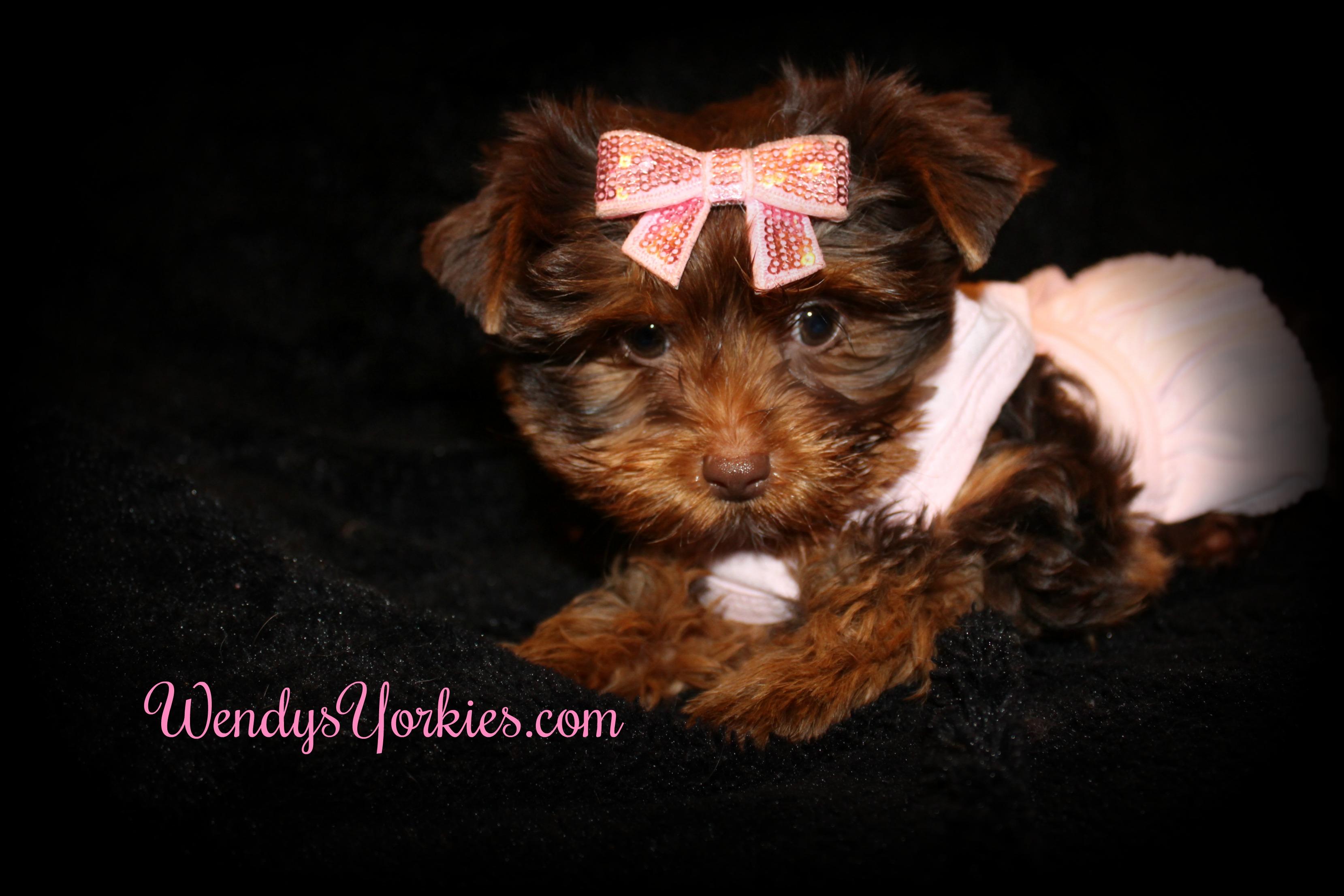Chocolate Yorkie puppies for sale in Texas, WendysYorkies.com, Lela Cf1