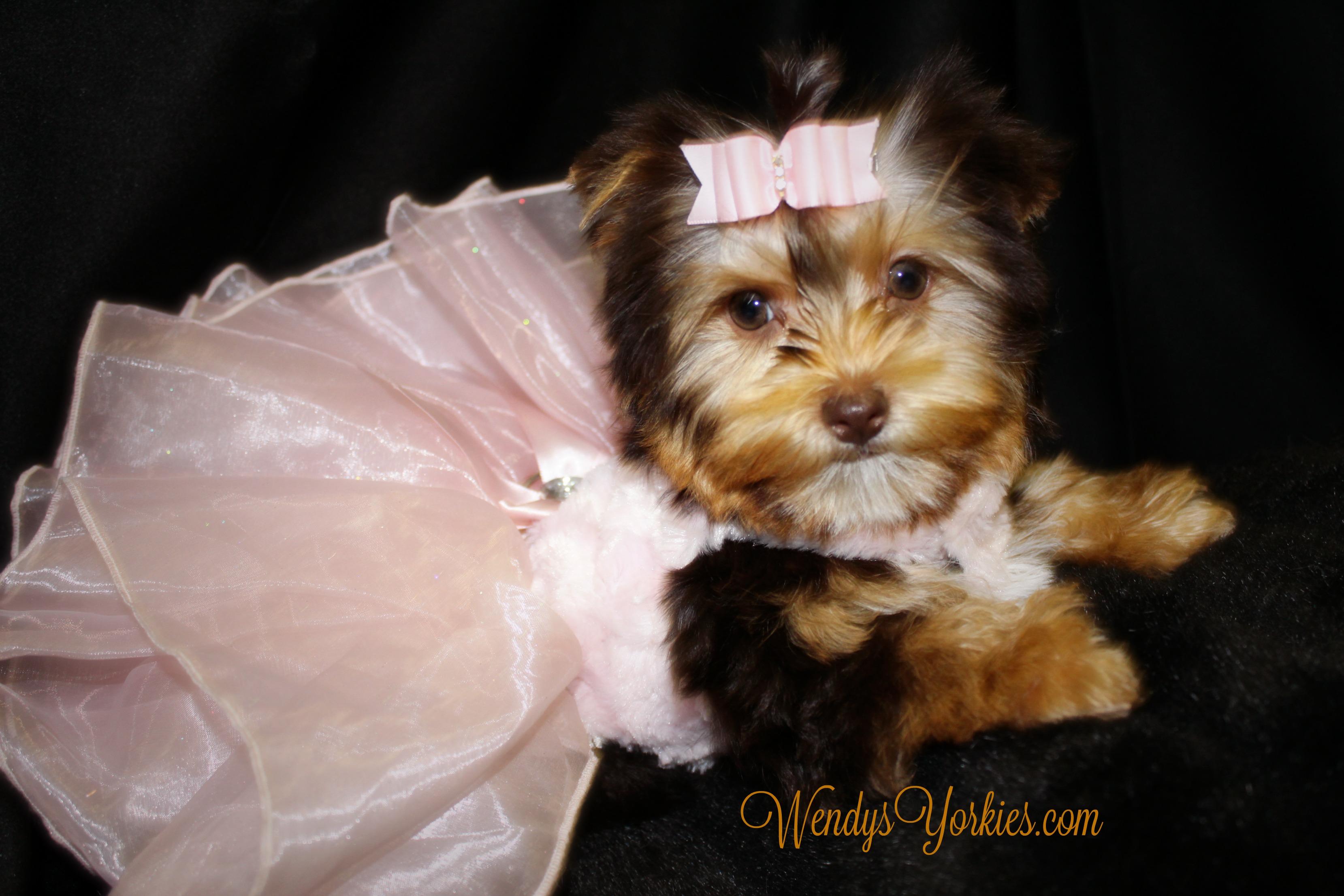 Chocolate Yorkie puppy for sale, WendysYorkies.com, Allie 2