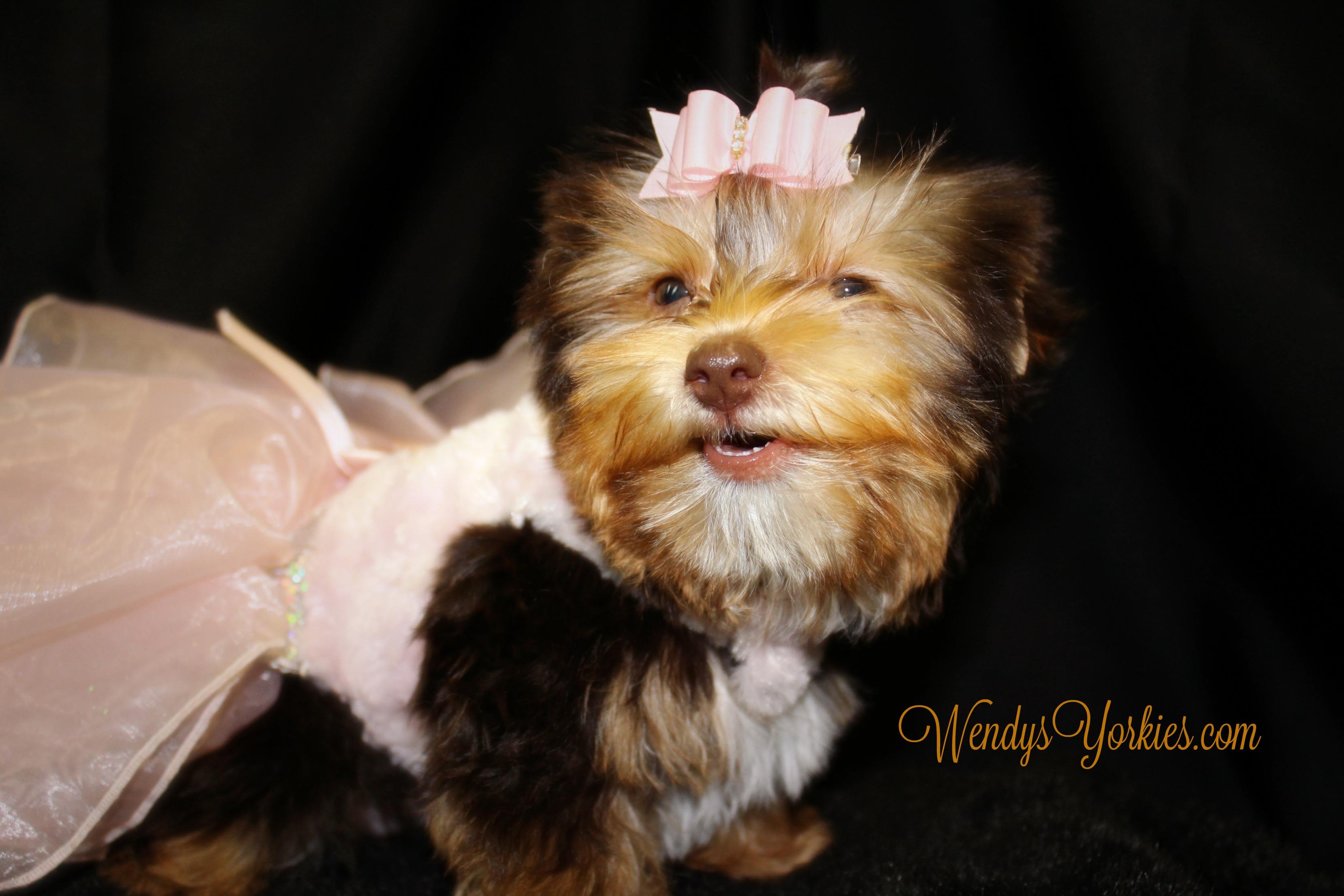 Chocolate Yorkie puppy for sale, WendysYorkies.com, Allie 3
