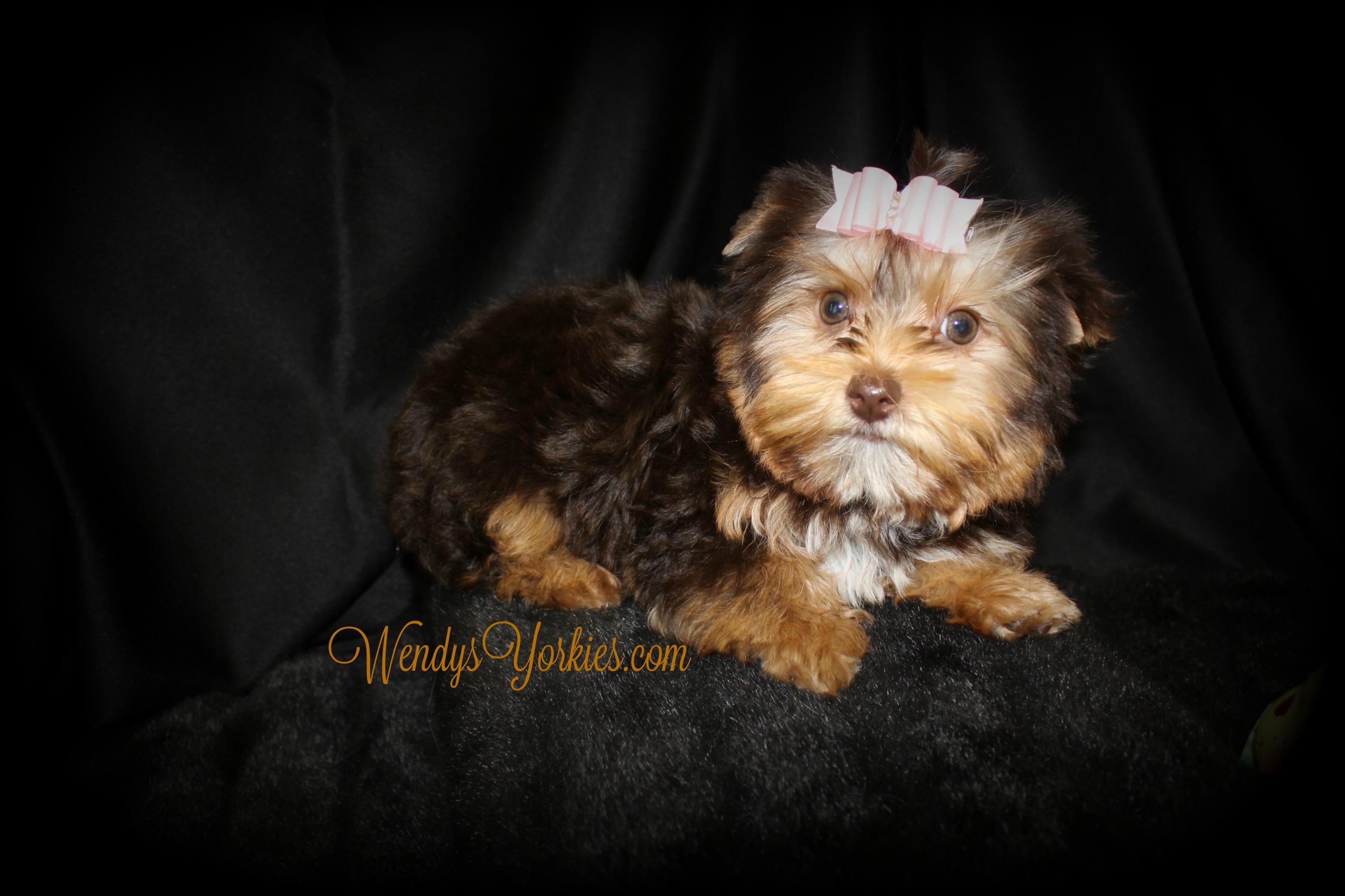 Chocolate Yorkie puppy for sale, WendysYorkies.com, Allie 4