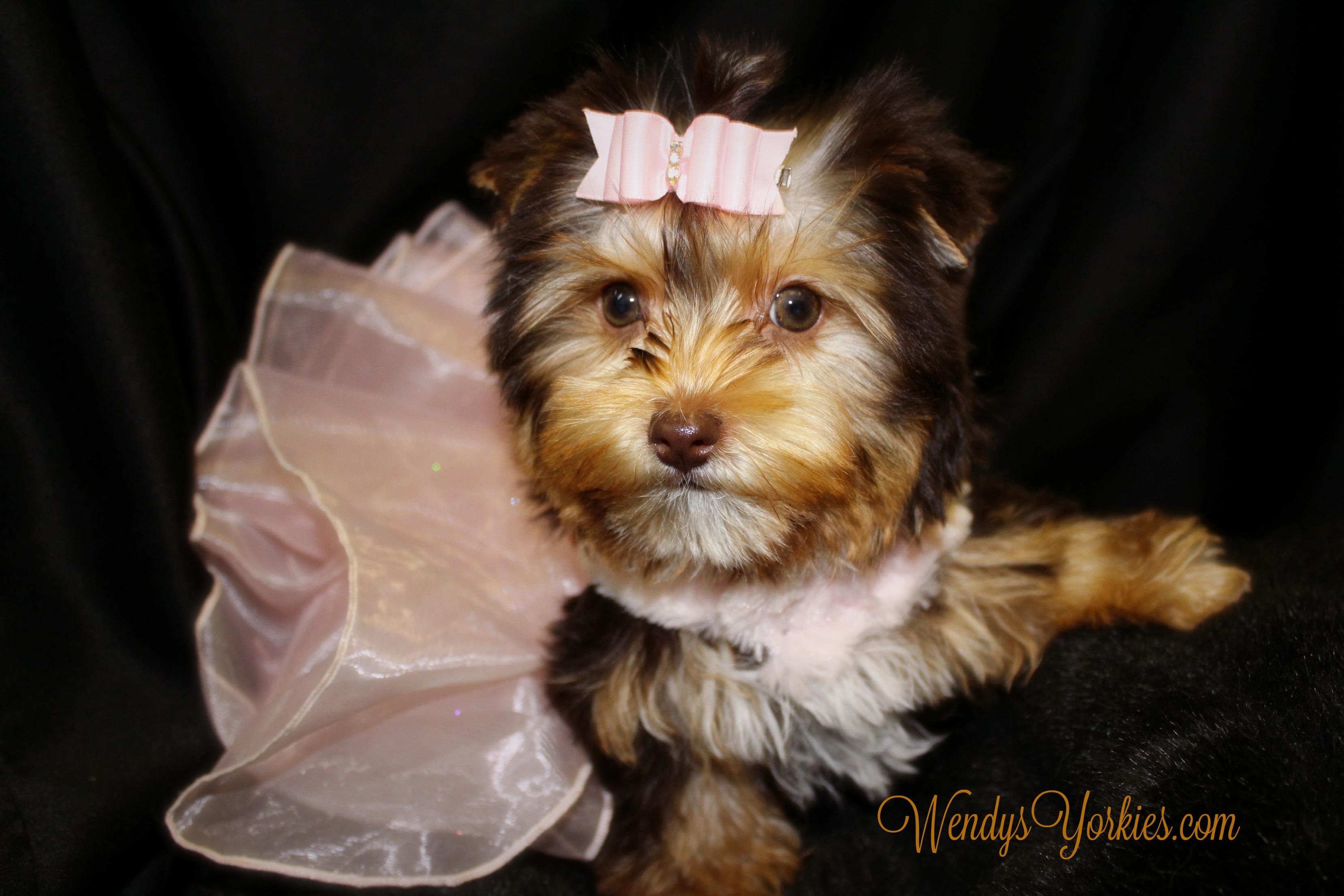 Chocolate Yorkie puppy for sale, WendysYorkies.com, Allie