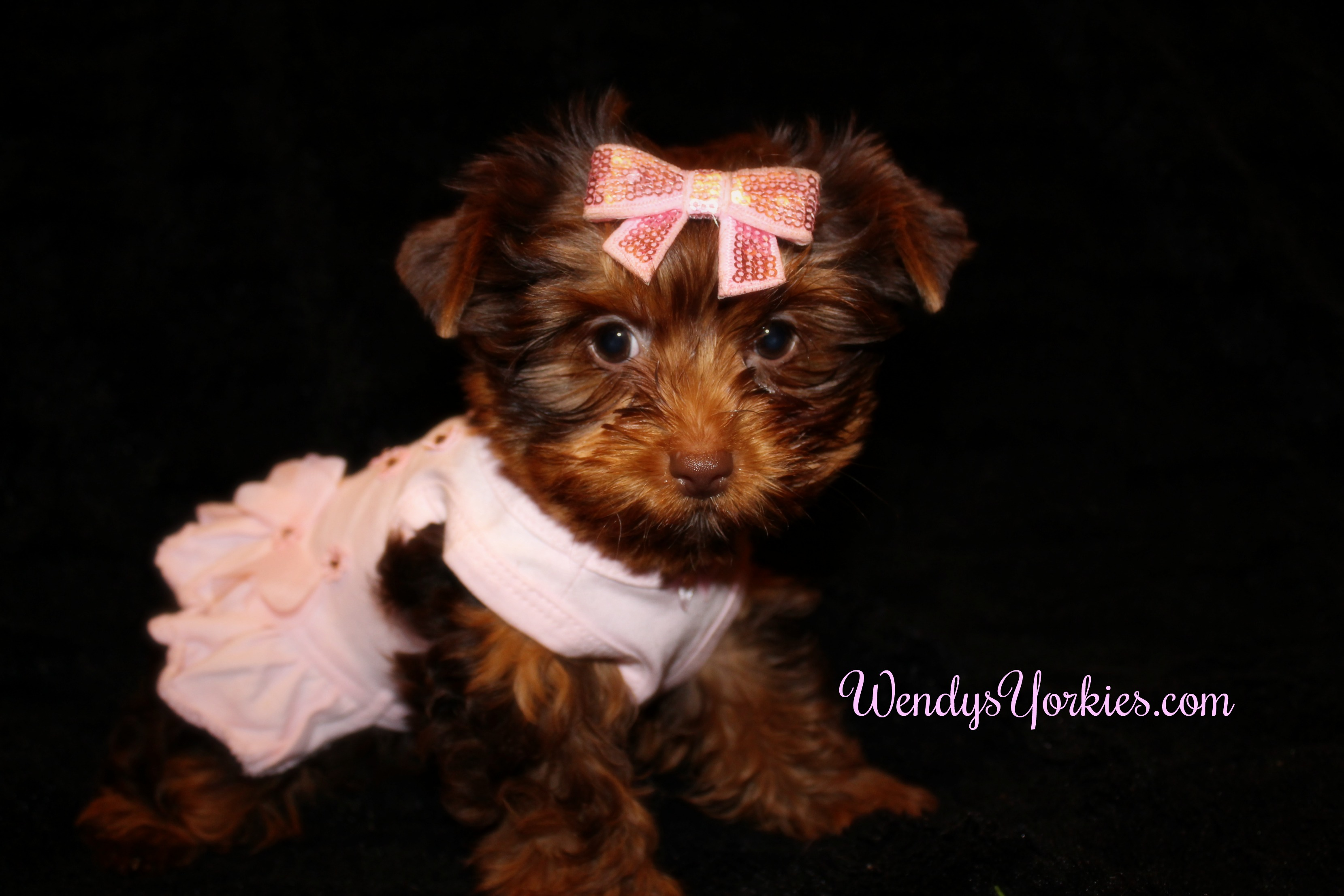 Chocolate Yorkie puppy for sale, WendysYorkies.com, Lela cf1
