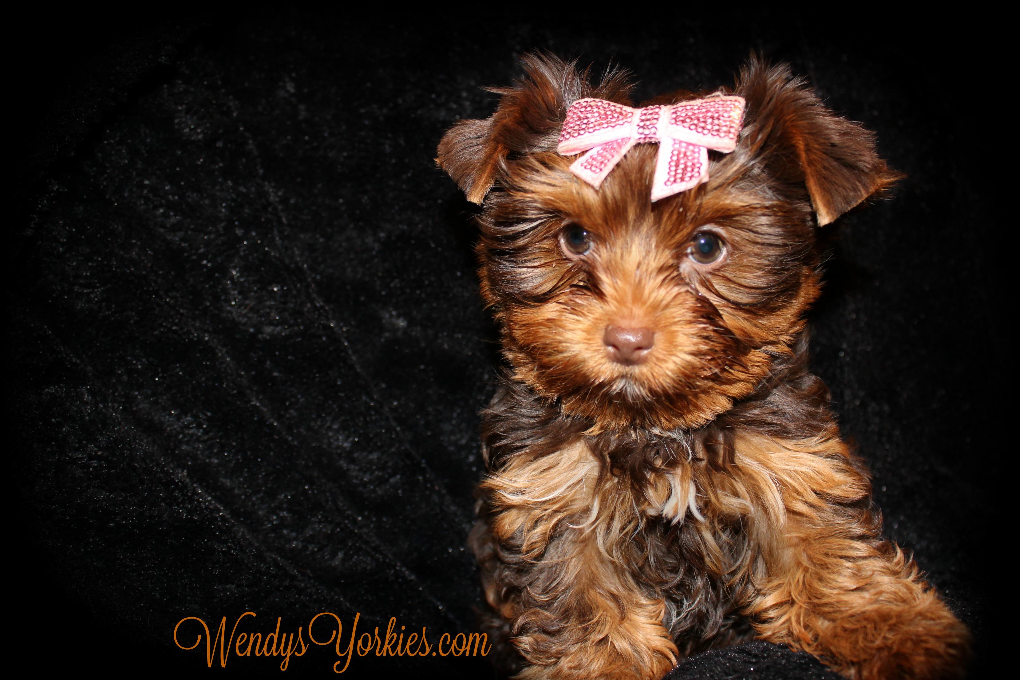 Cute Chocolate Yorkie puppy for sale, WEndysYorkies.com, Lela fc1